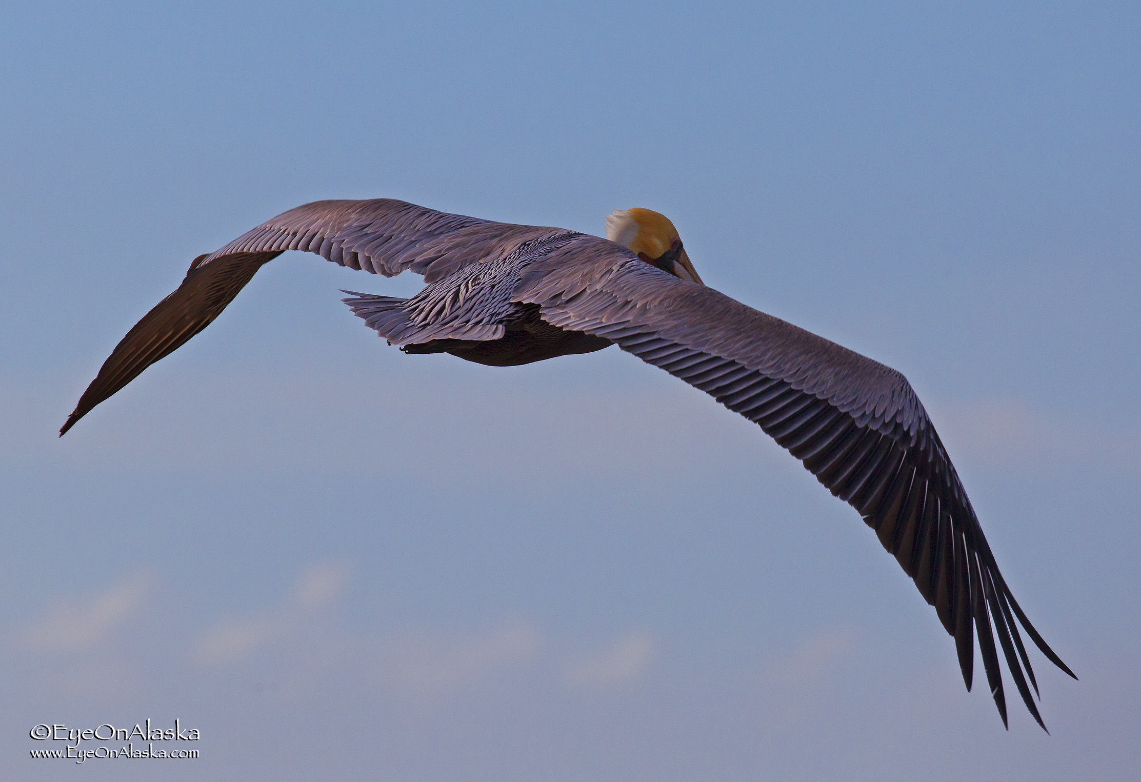 Pelicans soaring the cliff face. I never realized they were as colorful as they are.