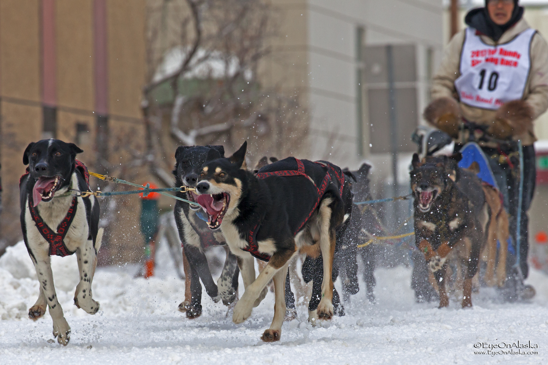 #10, Marvin Kokrine. This family has been mushing royalty for many years.