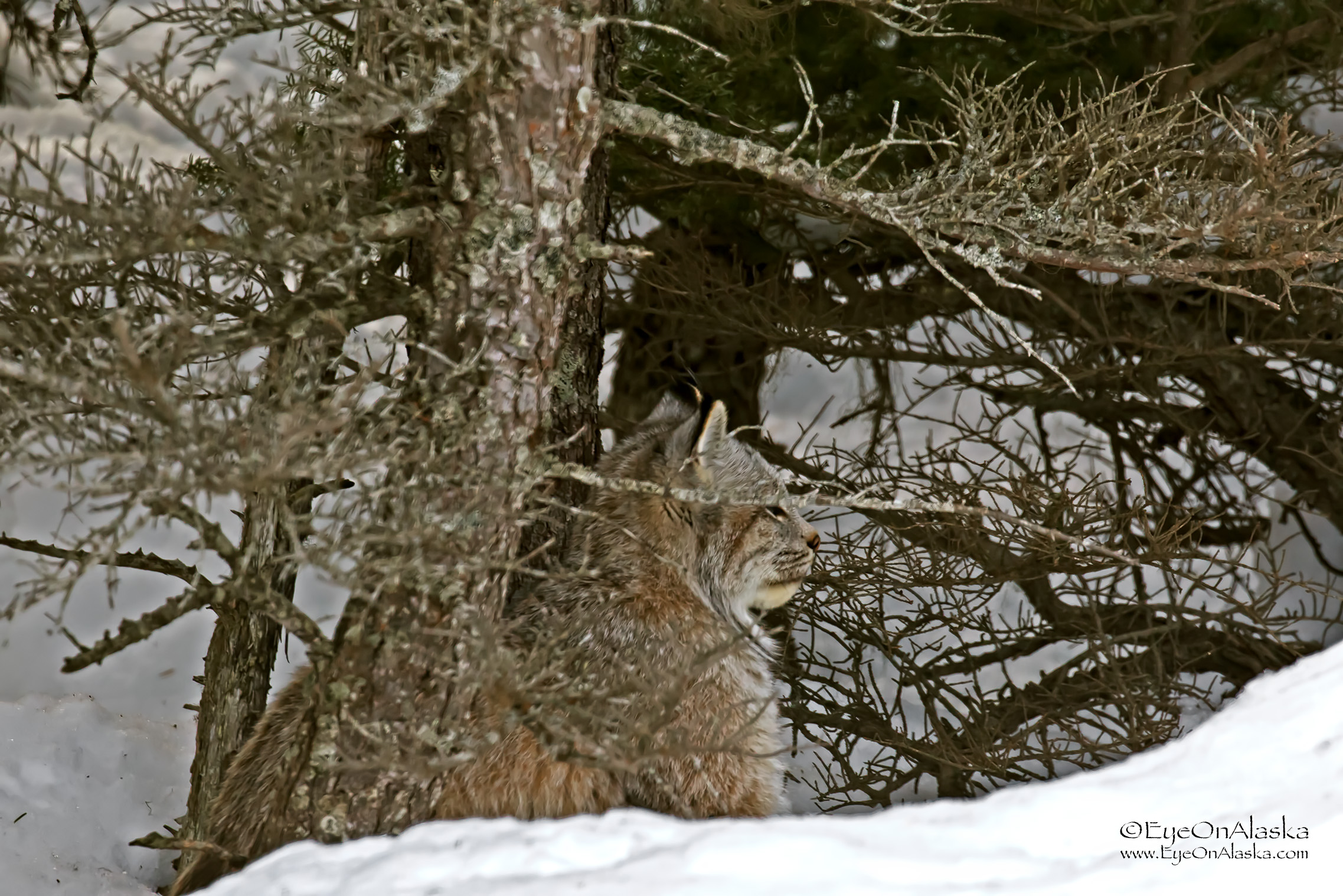 Holy cow, there's a Lynx in the backyard!