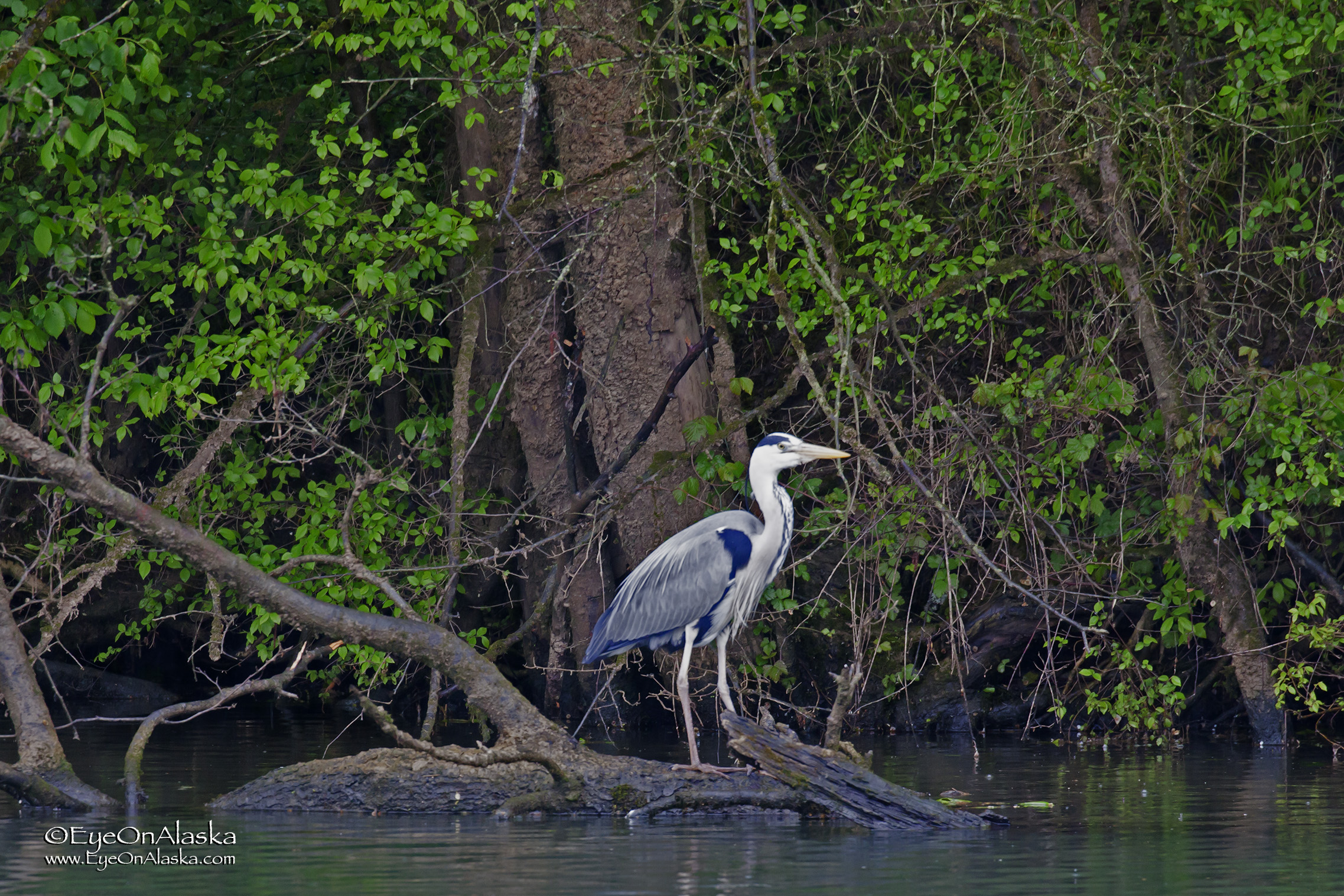 Herons all over the place!