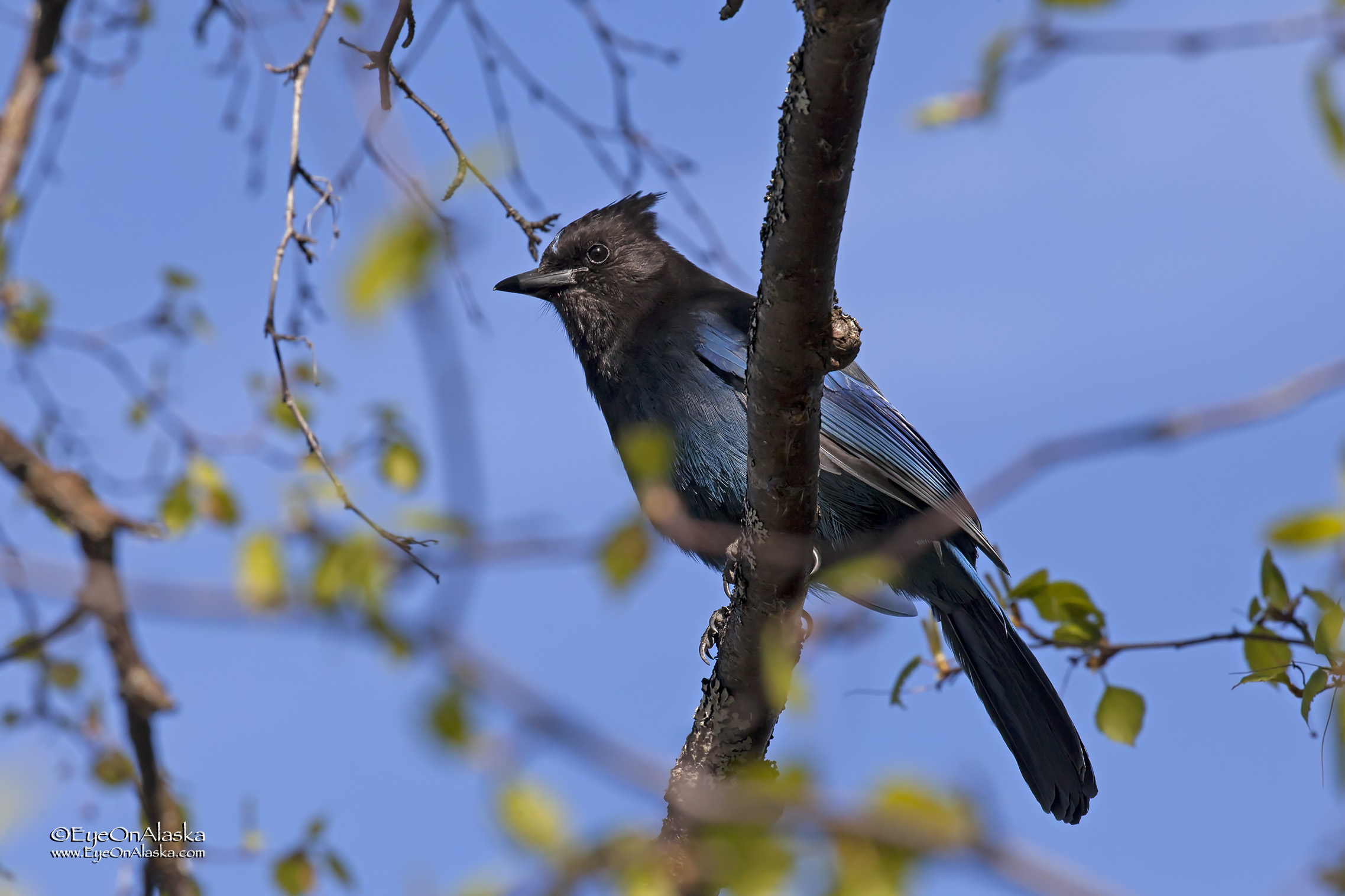 This Steller's Jay hung out with us all afternoon.
