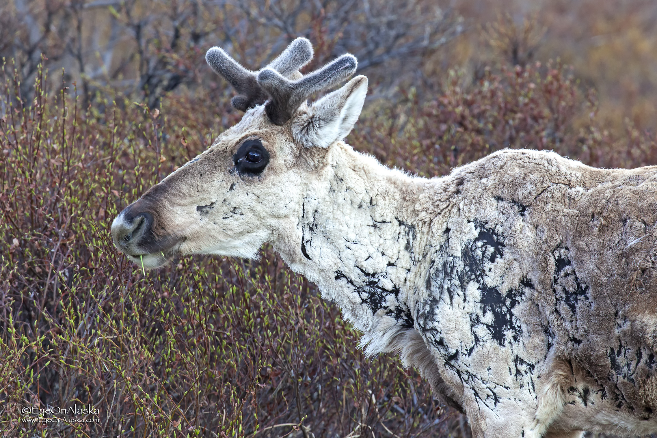 Caribou are quickly losing their winter coats.