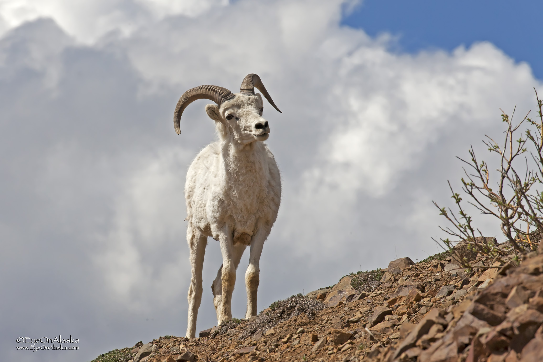 Nice Dall Sheep at Polychrome.