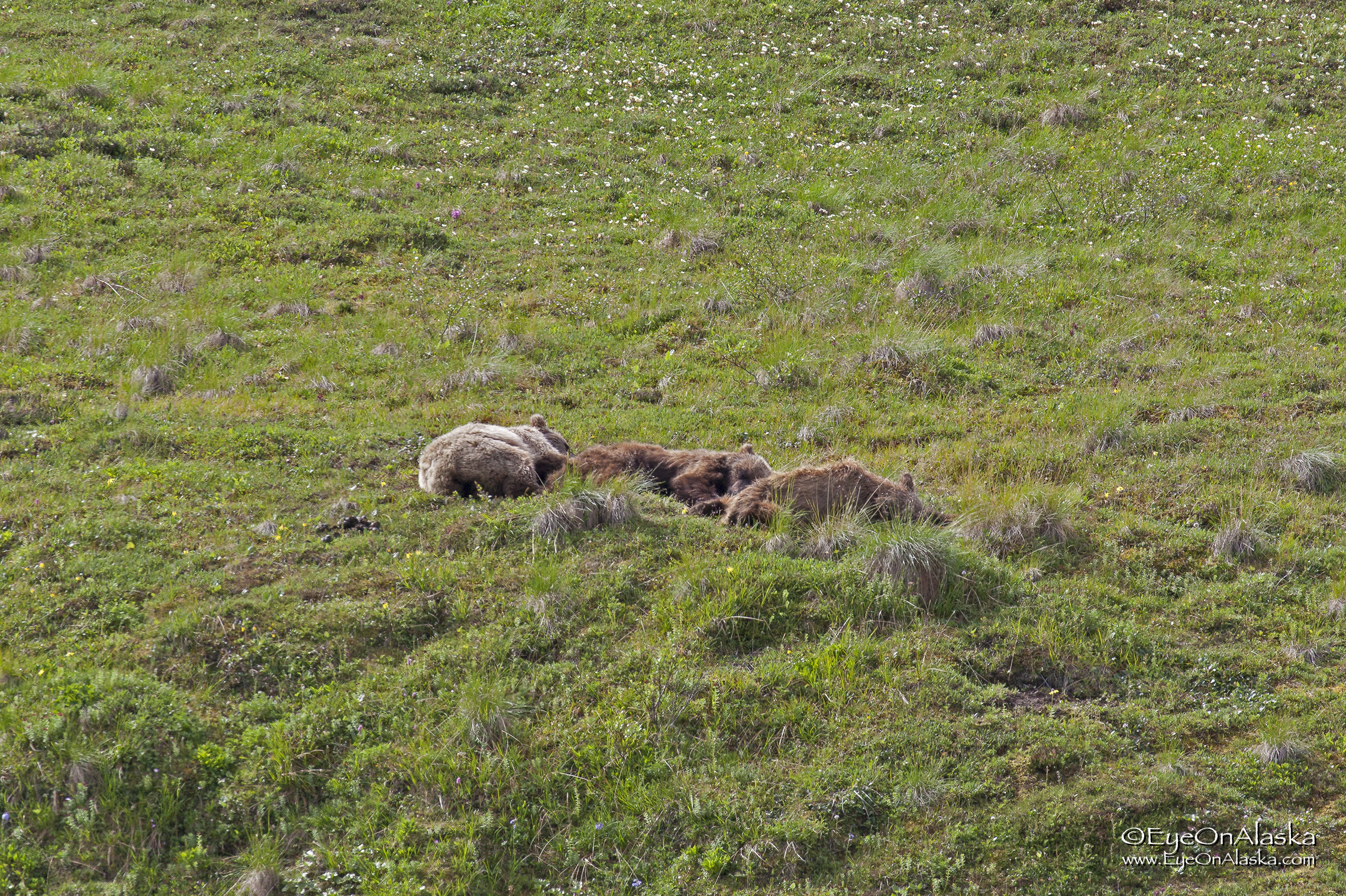 Sunday, July 9th.  After another all-night thunderstorm, the skies cleared and we head back to the top of Sable Pass.  We couldn't get off the bus right at the top because of this.  A sow and her two cubs from last year were sleeping next to the road.