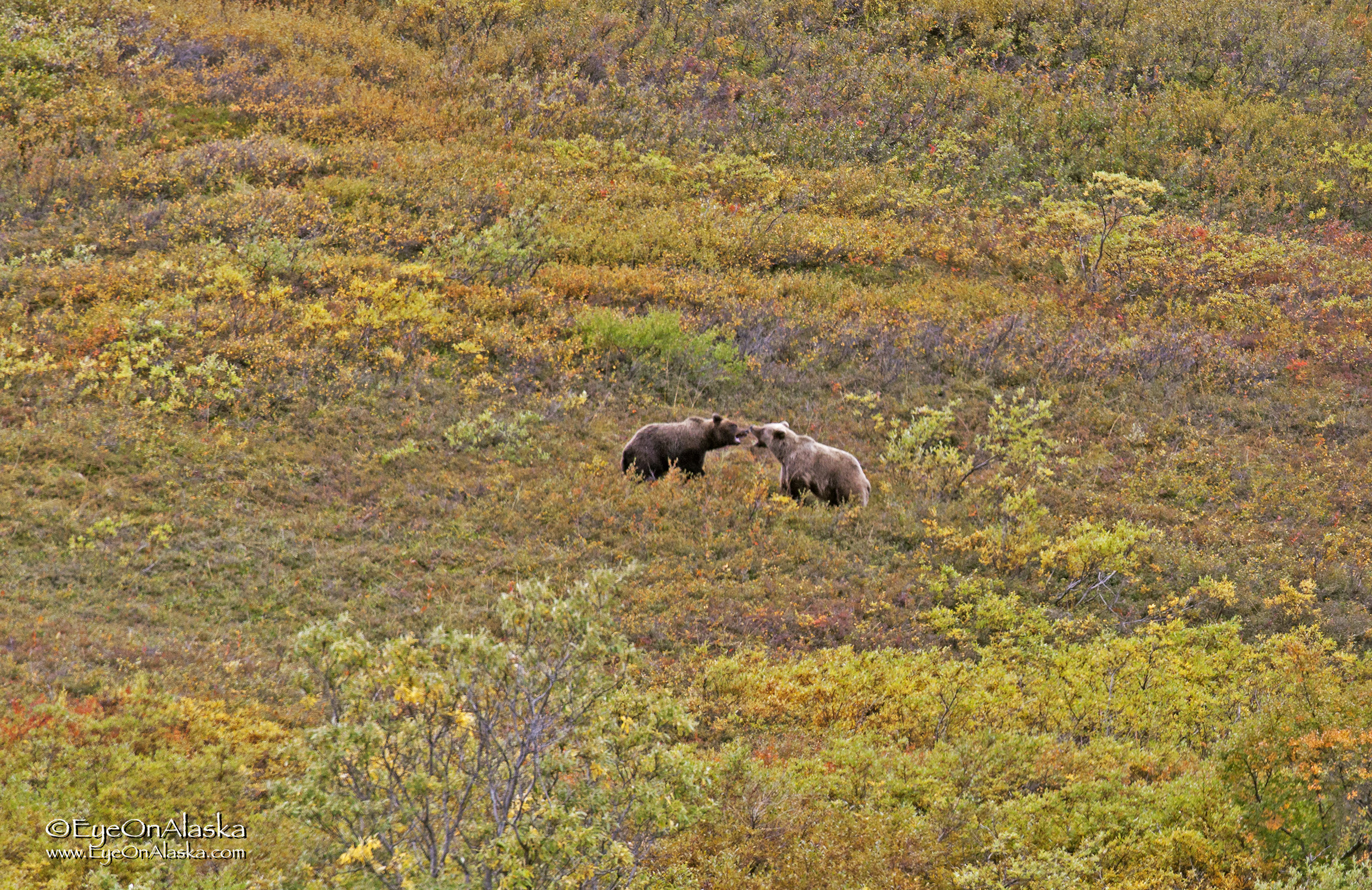 so the bus keeps moving--for about 200 yards, when we see 3 more bears on the right side of the road!   We think this is Mama bear telling one of her cubs that it's time to leave the nest and go out on his own.  The sows will nurse for 2 to 3 years and then kick them out--sometimes violently- so they can get pregnant again.