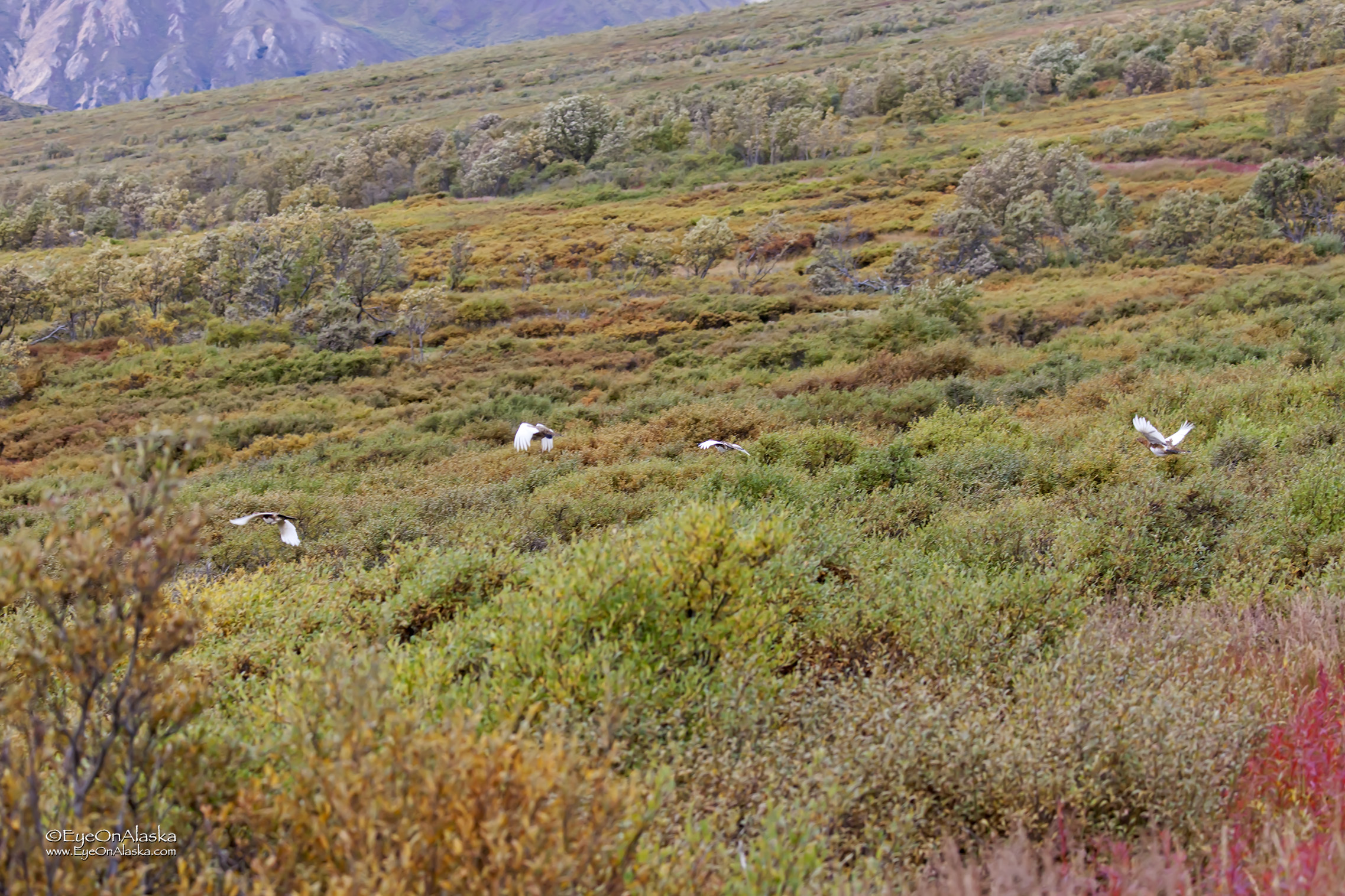 after clucking at us for a bit,  they head off over the tundra.