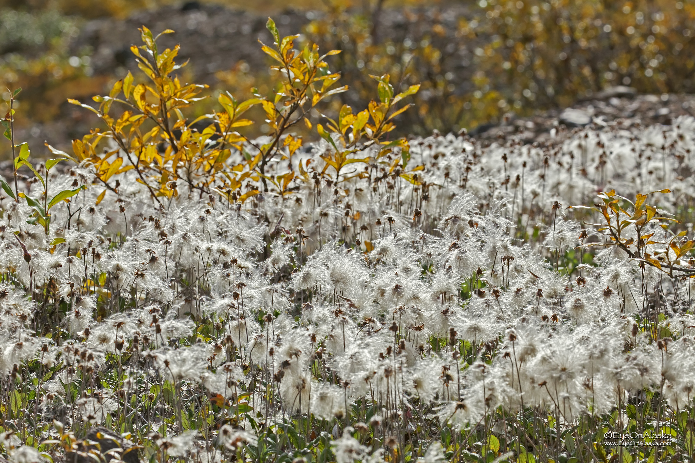 Tundra cotton near Stoney Creek.  We call this the Doctor Suess plant :)