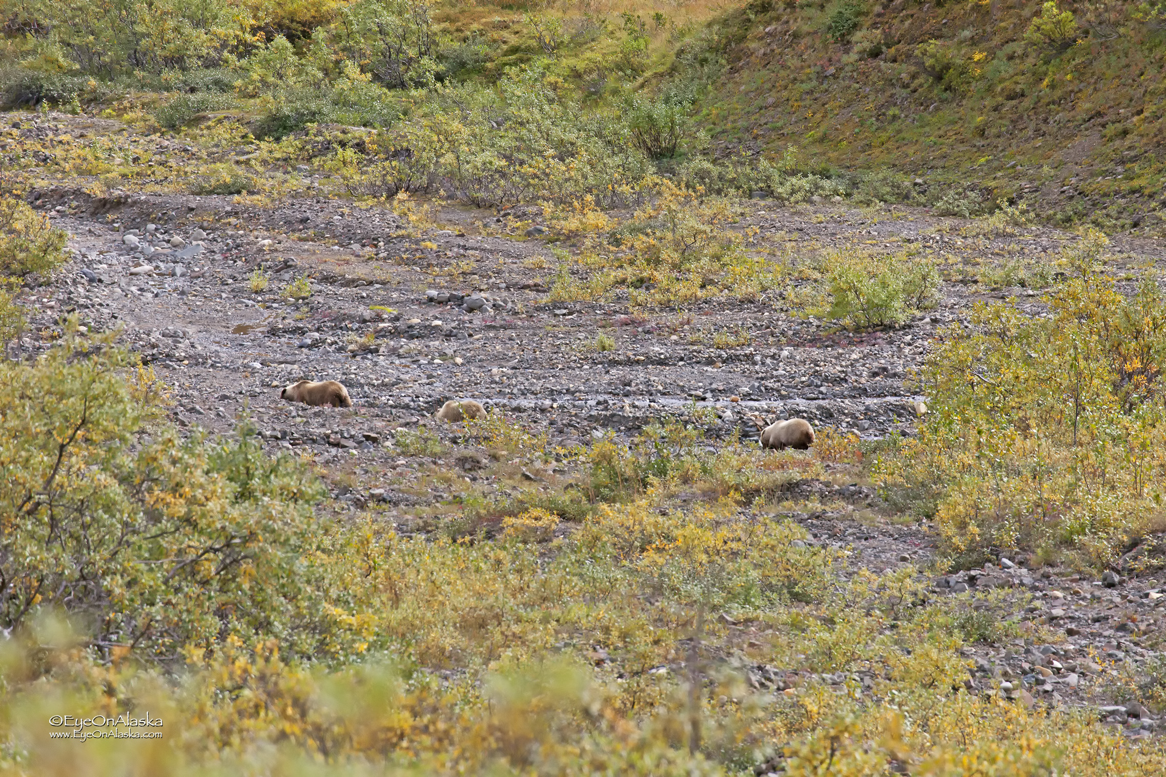 yep, three more bears.  It turns out that one of the cubs has an injured paw.  The Rangers are keeping an eye on it.  It seemed to be moving okay, so if it makes it to den-up for the winter, it should be okay.