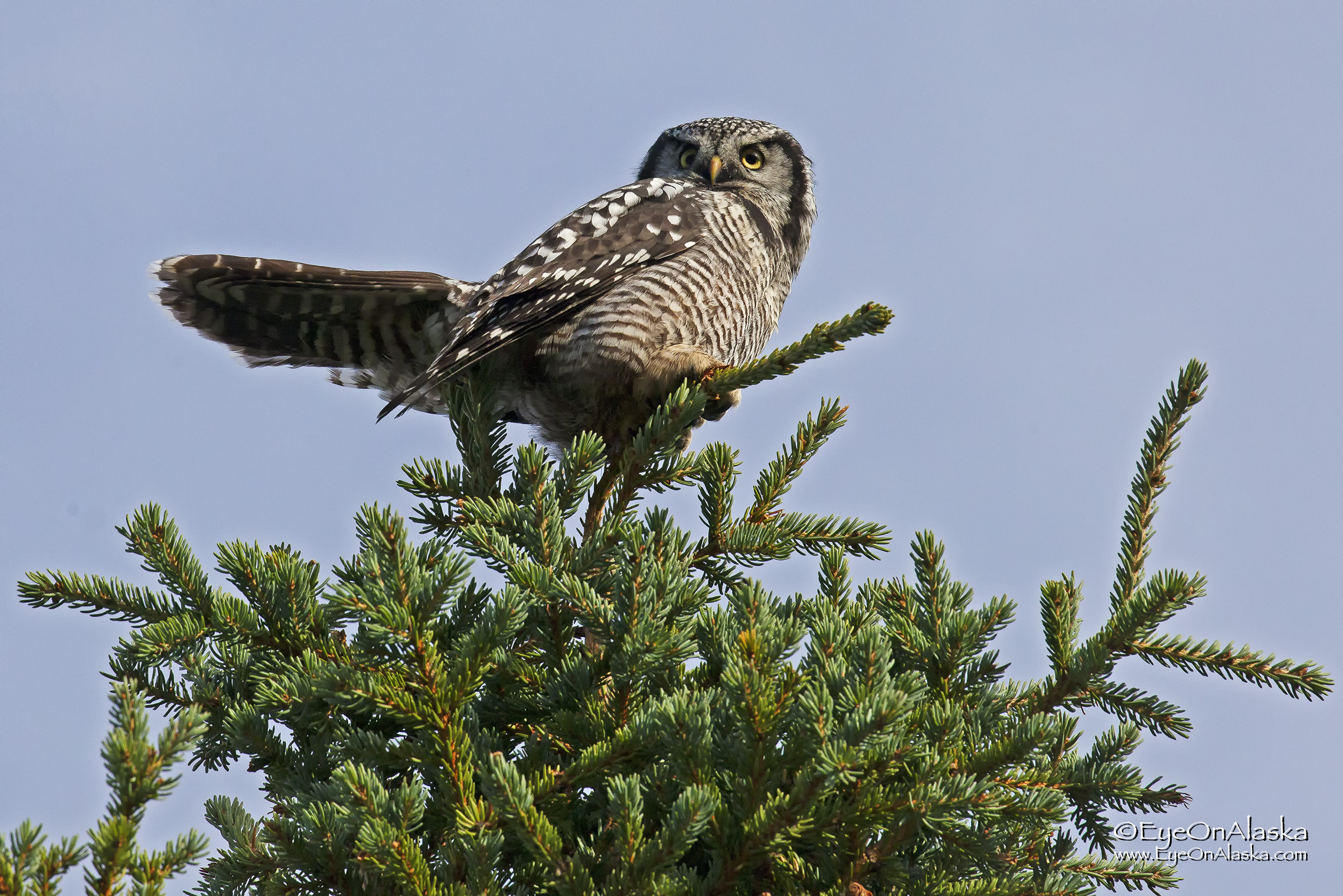 A Northern Hawk Owl decides to visit our campsite as we're sitting at the picnic table with friends having dinner.