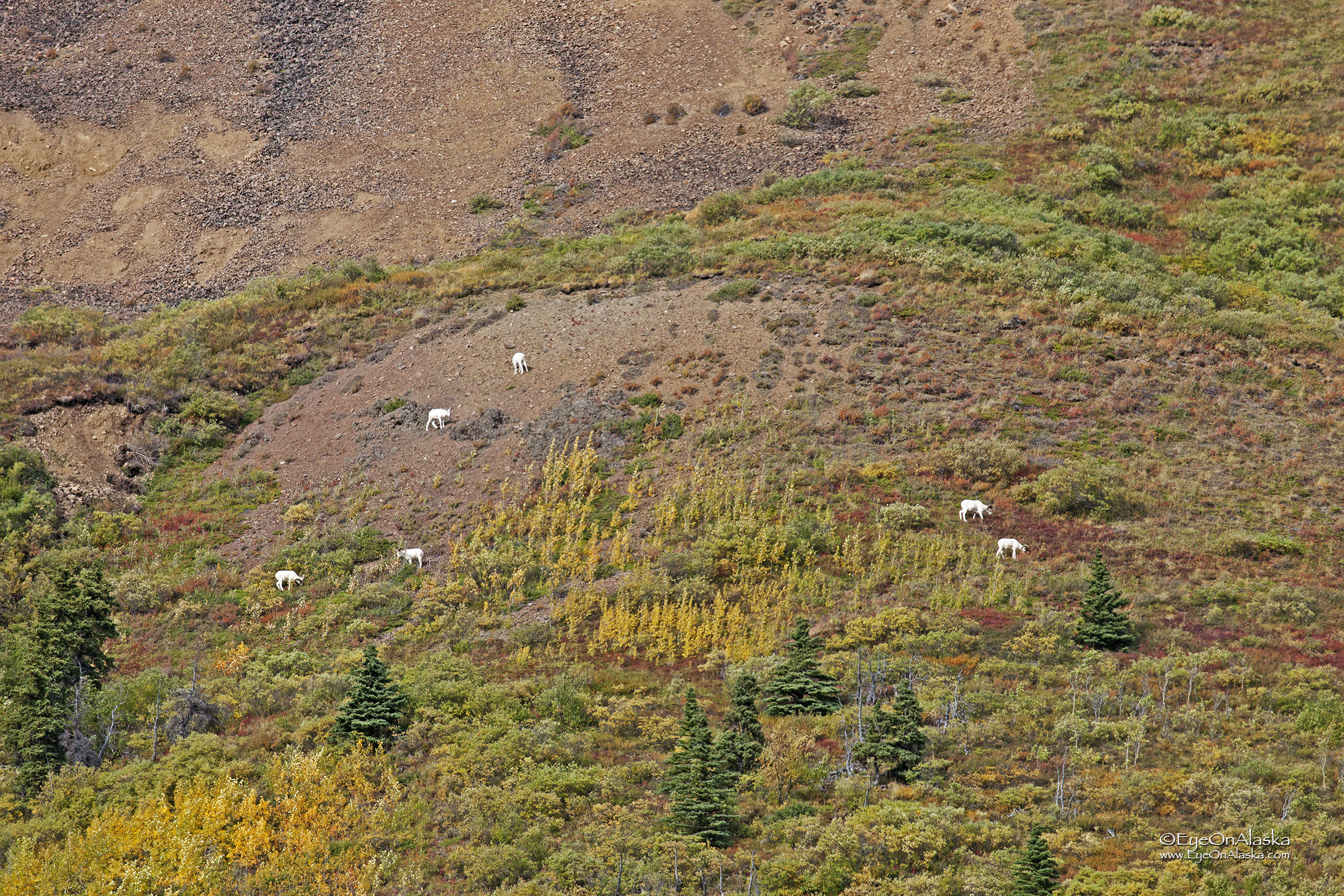 Dall Sheep in Igloo Canyon as we head out.  The tundra colors are changing rapidly.