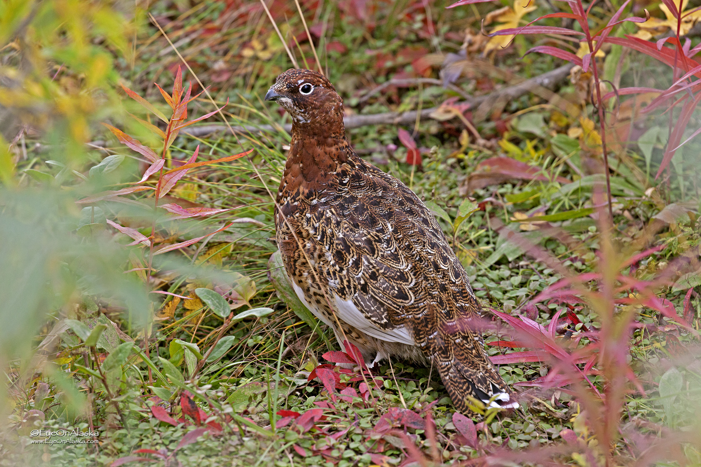 This Willow Ptarmigan sat right next to the road as we biked past.