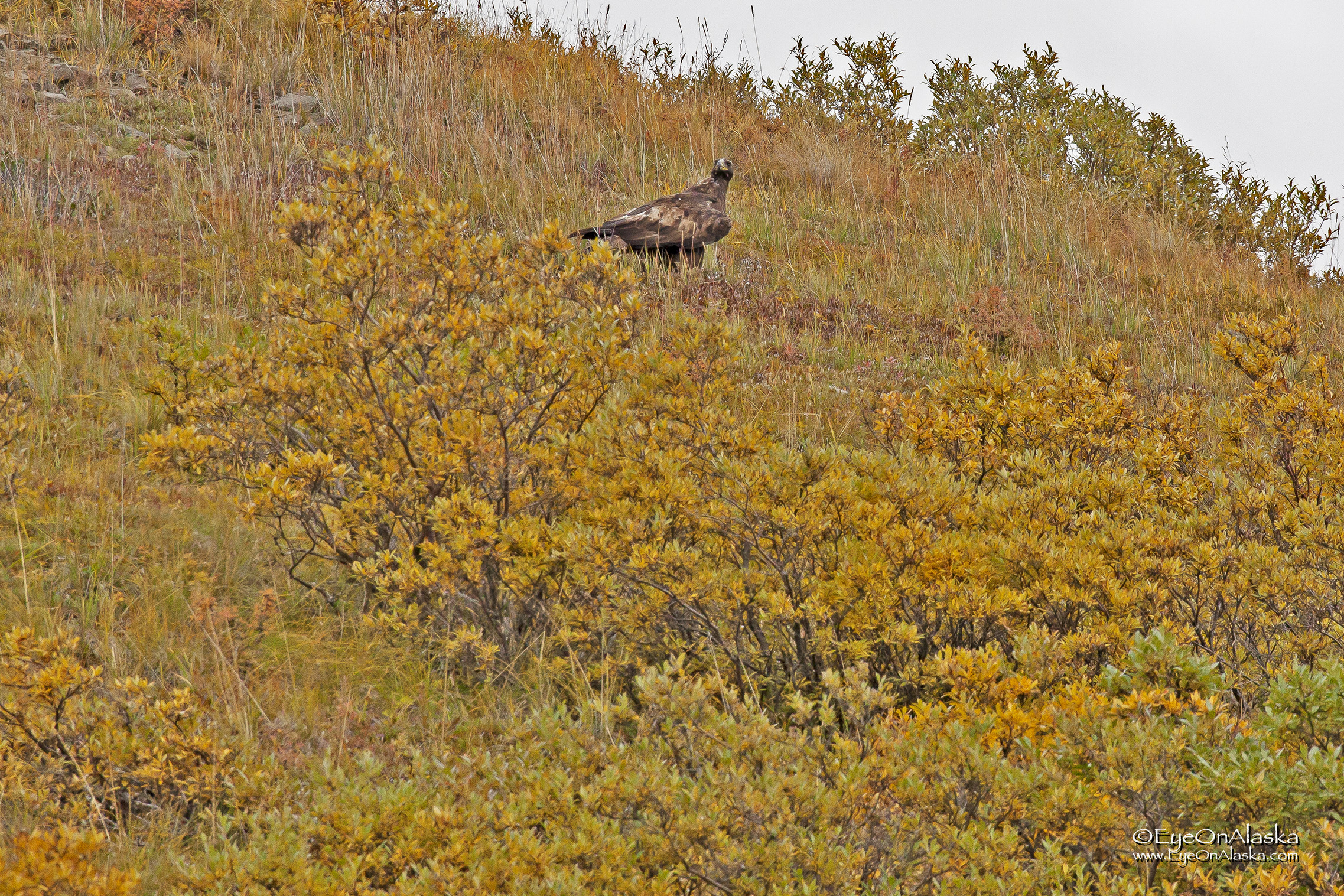 We give up on heading further into the Park, and instead head back toward Toklat.  As we're riding up a hill this Golden Eagle lands on the bluff just above us.