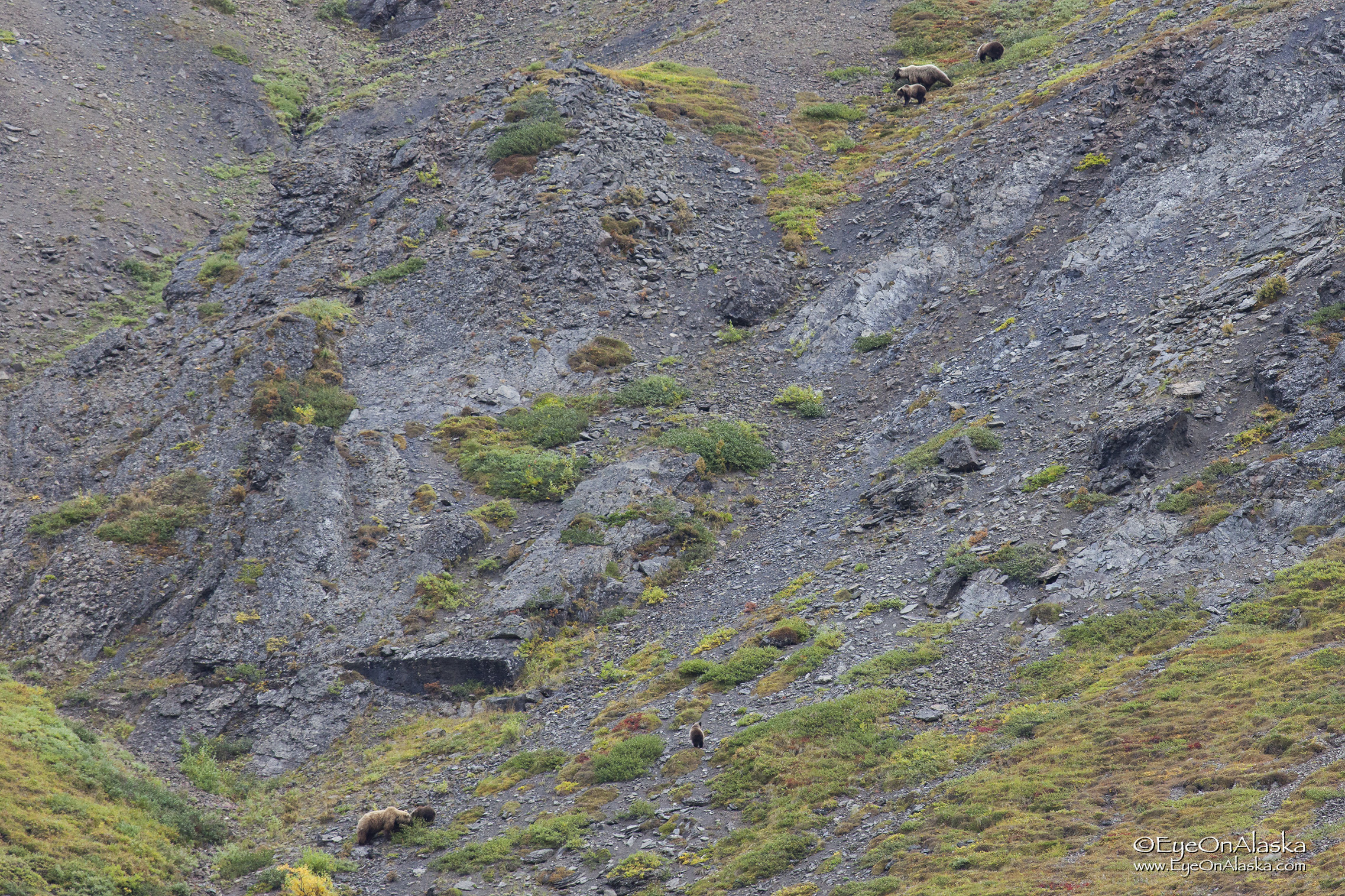 in all the times I've been to Denali, I've never seen six bears in the same picture.  Luckily, they saw each other and avoided any contact or confrontation.