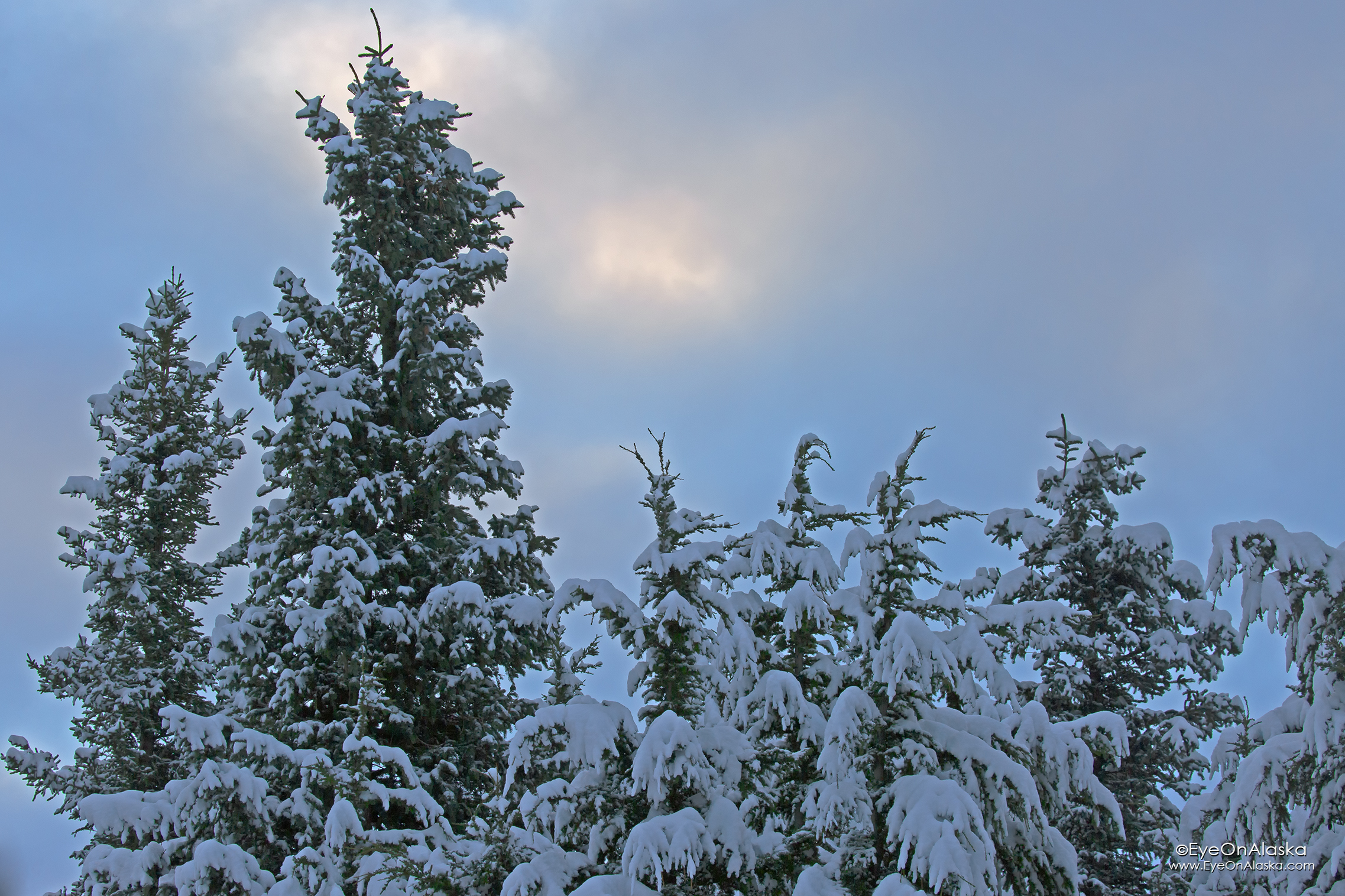 All of the trees are draped in snow, not a breath of wind since last night.