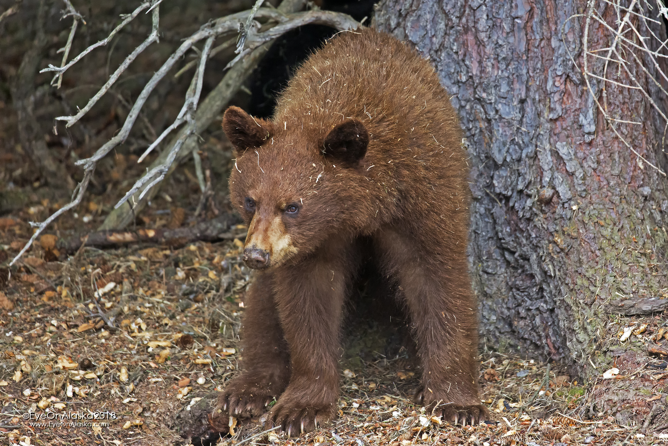 One of the dramatically cinnamon colored cubs.