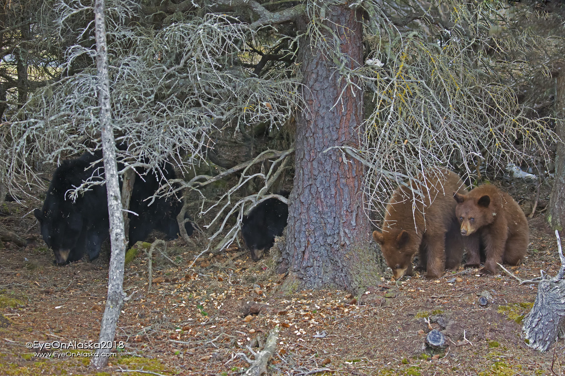 There's the whole family.  Mom, black cub, and two cinnamon cubs.