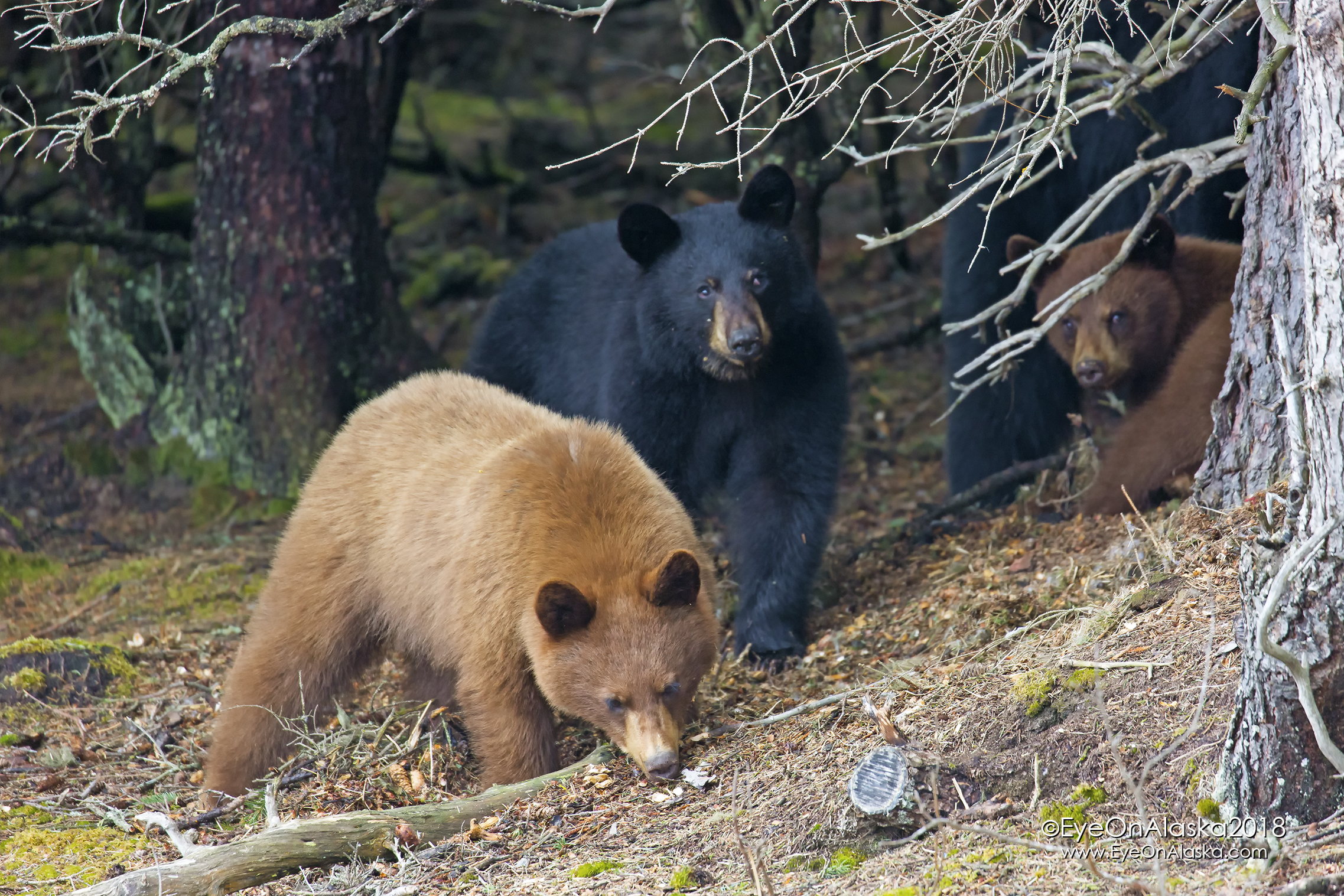 The 2 cinnamon cubs with Mom and the black cub.