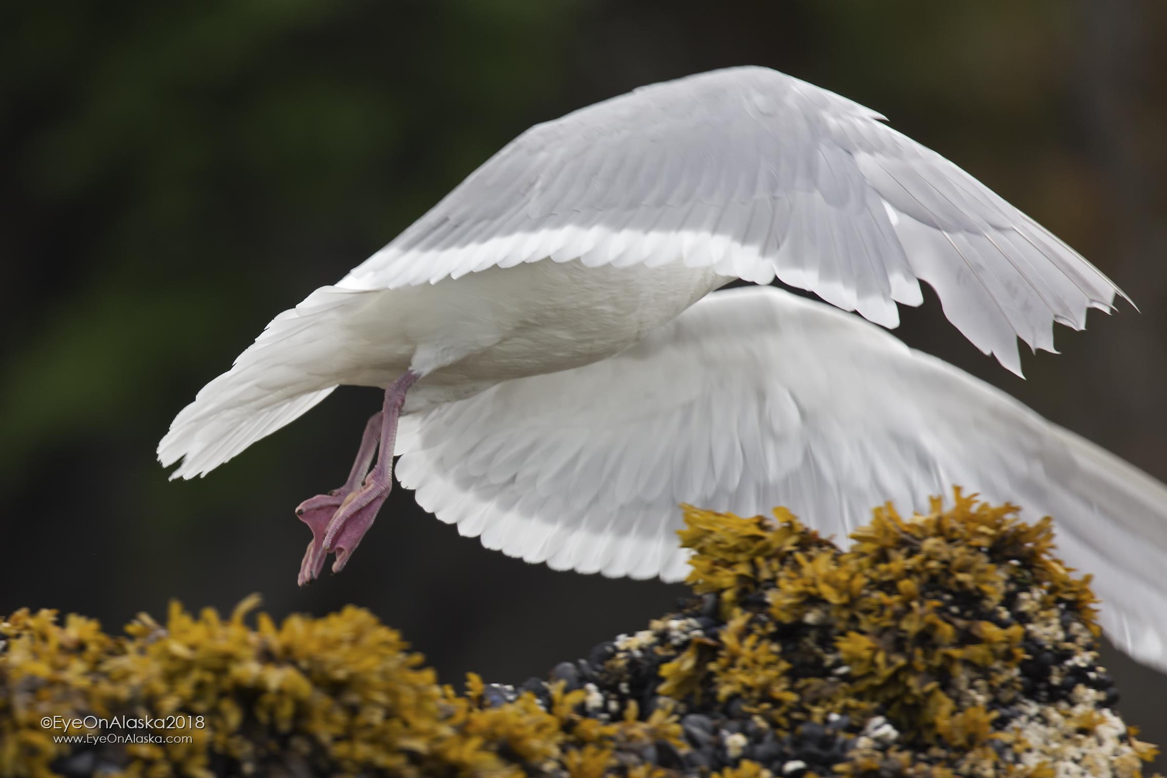 Seagull taking flight.