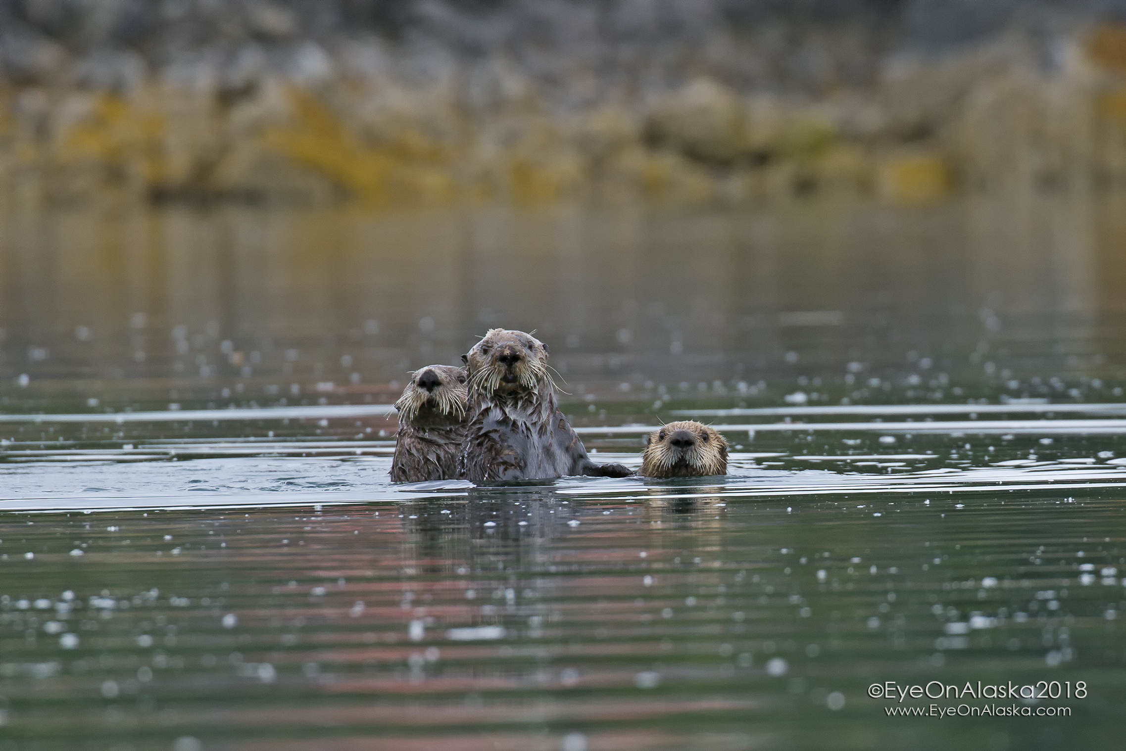 Sea Otter family watching us kayak by.