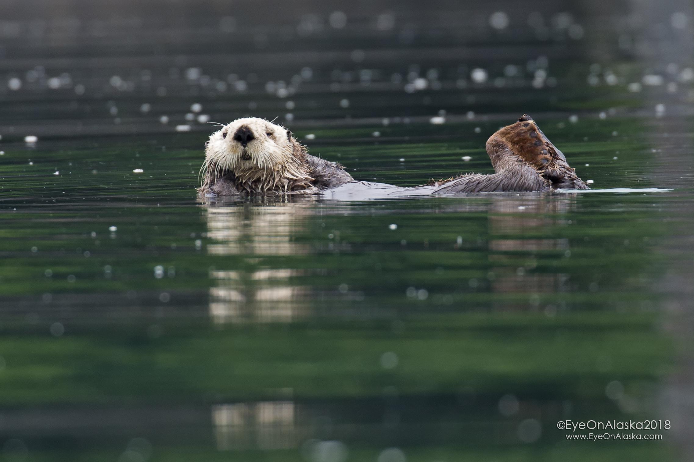 Curious Sea Otter.