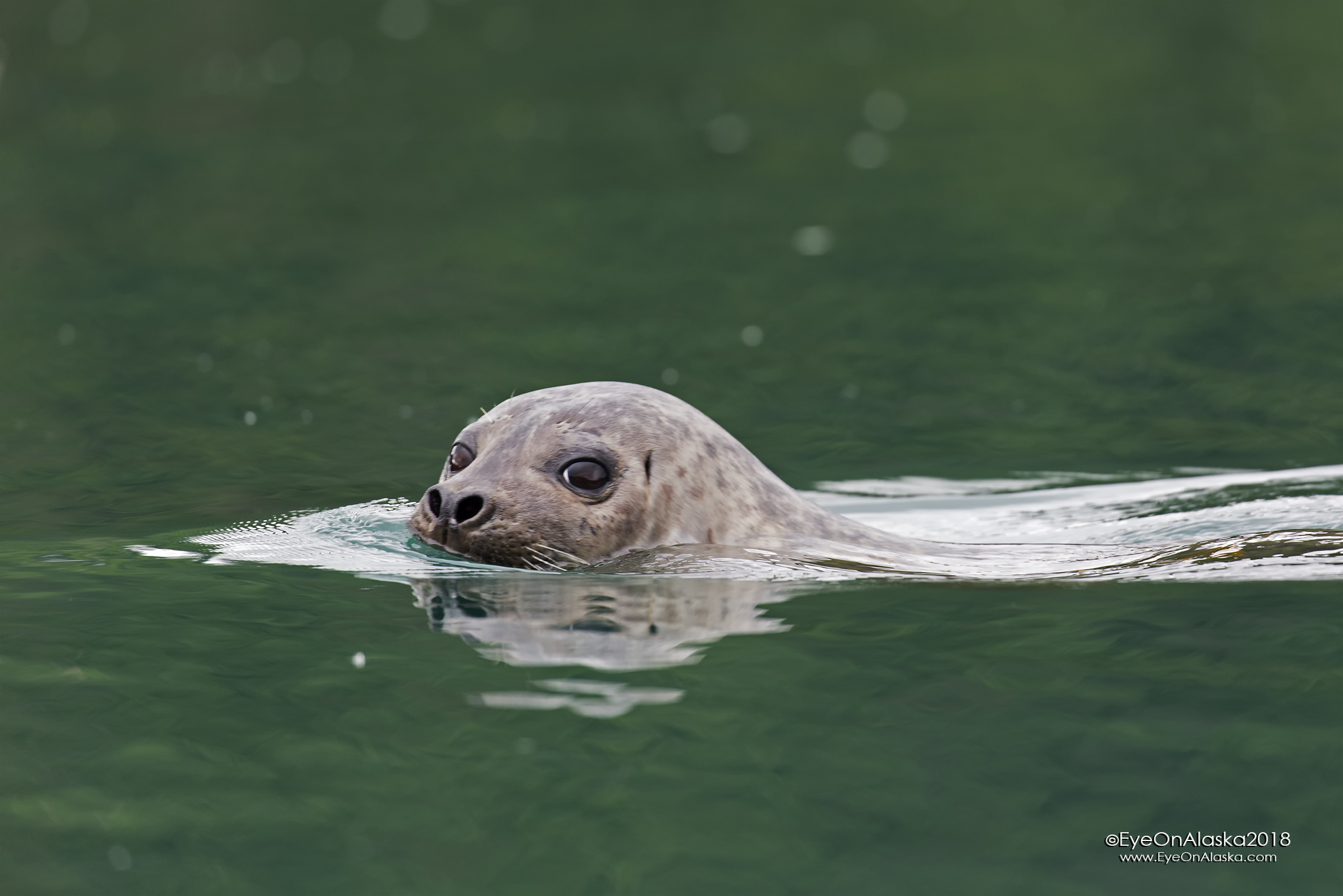 Even more curious Harbor Seal.