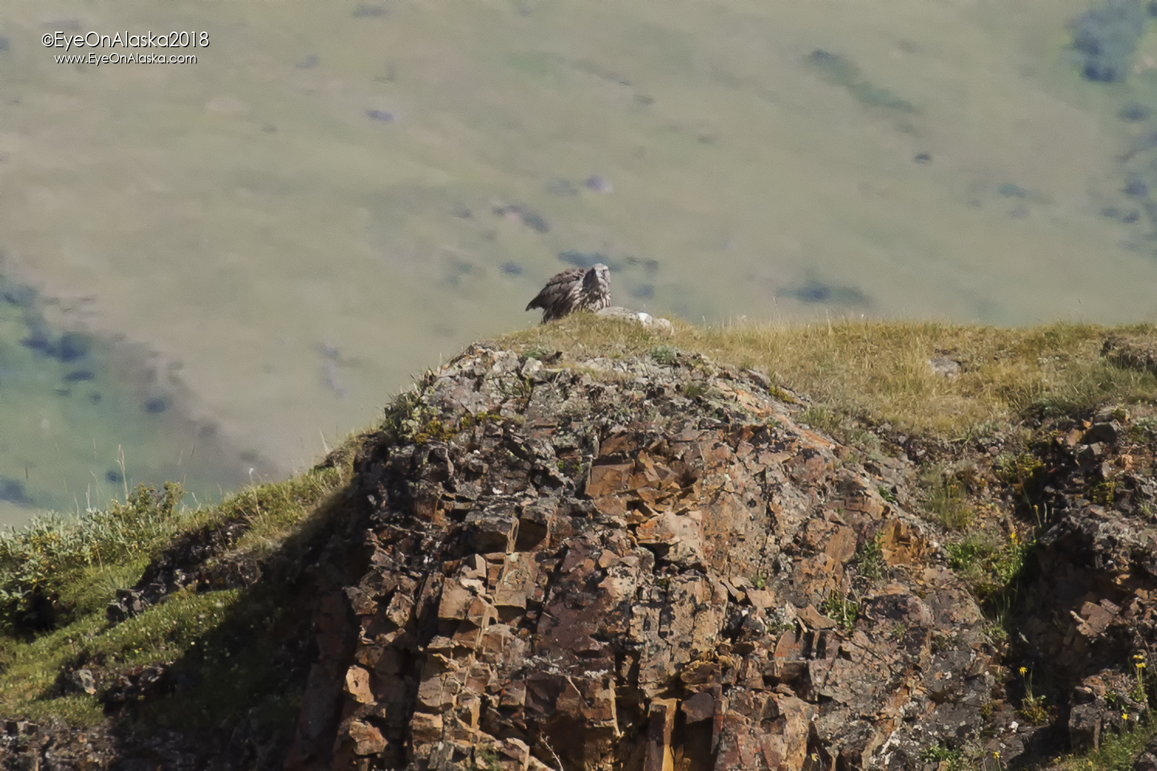 Juvenile Gyrfalcon up in Polychrome Pass.