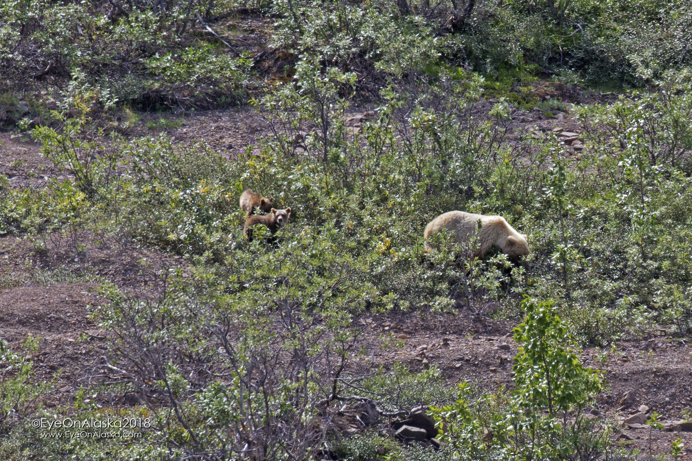 A sow with 2 Spring Cubs above the Toklat River.  We saw 3 different sows with Spring Cubs this year.  Hopefully they all survive the coming year to keep the population healthy.