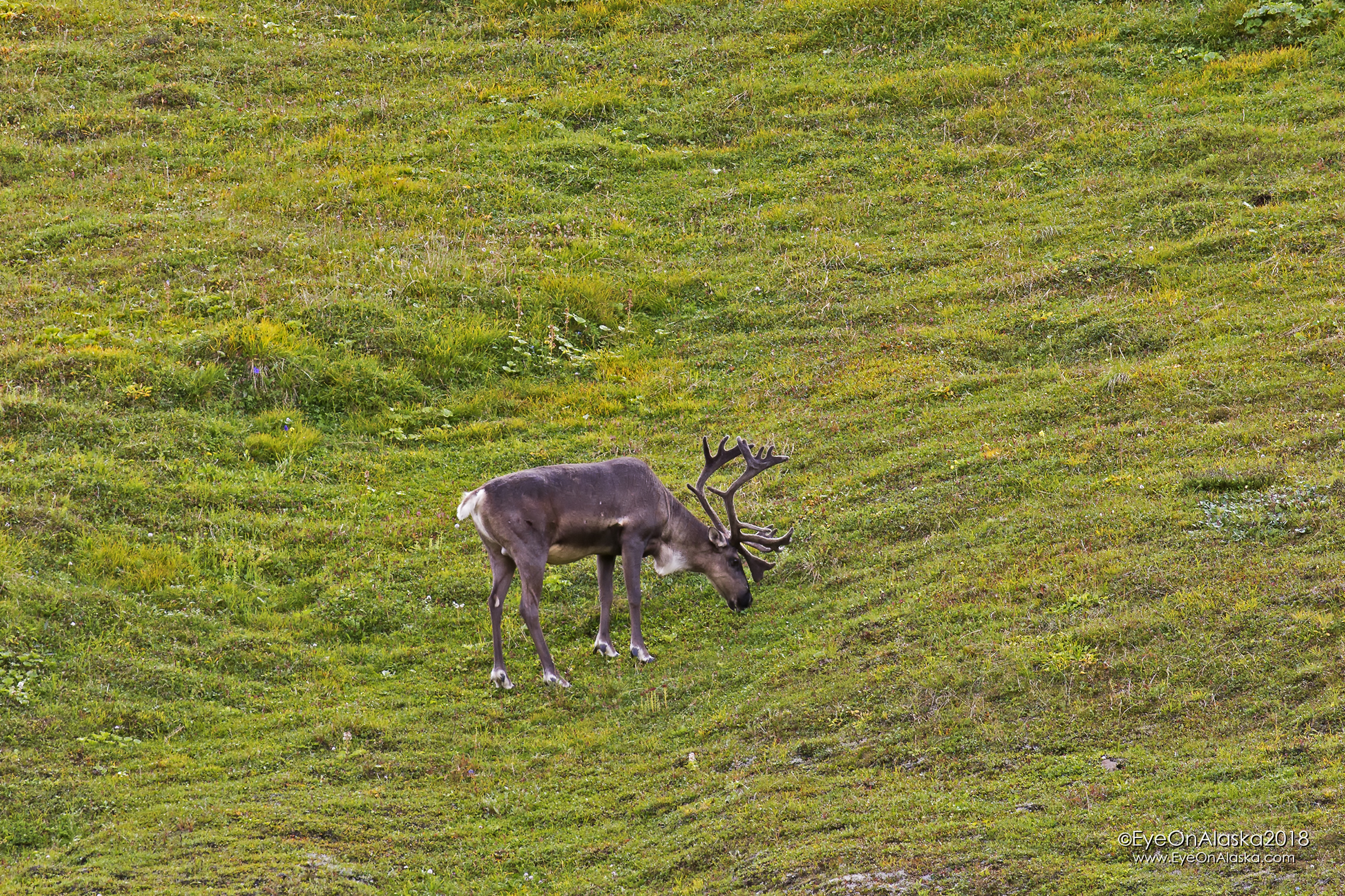 Good sized caribou up at the top of Sable Pass.
