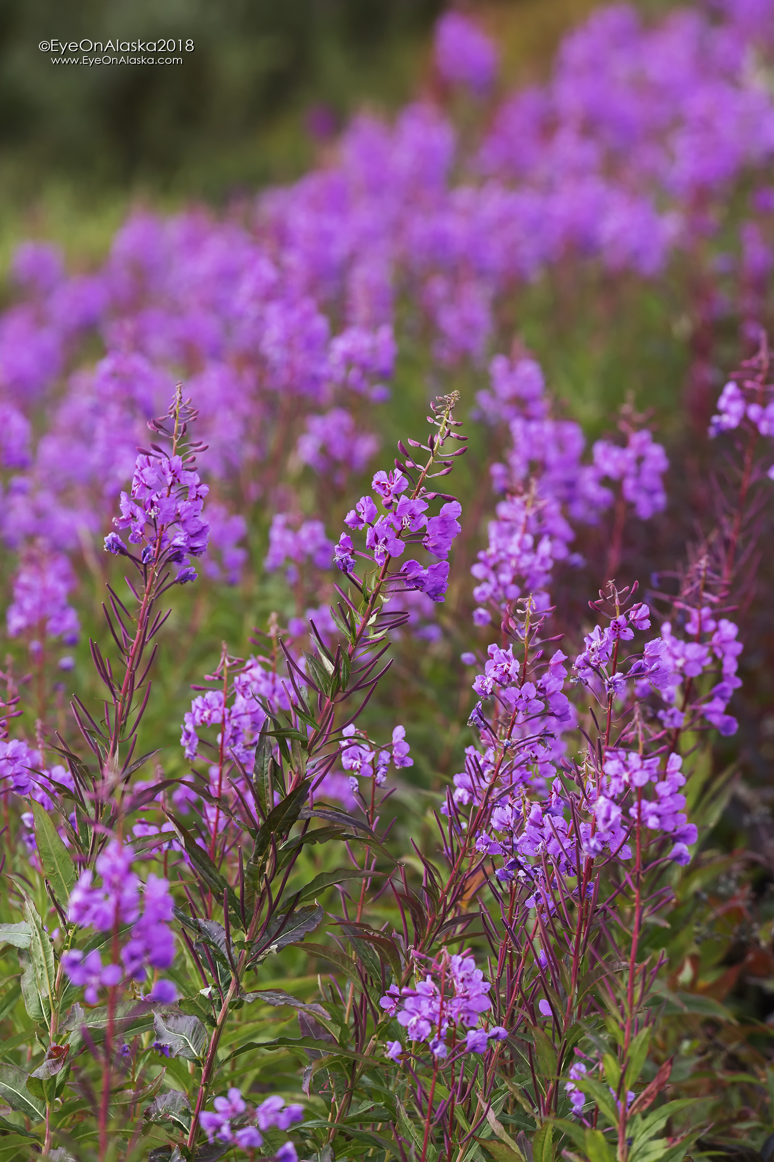 We were very surprised to see so much Fireweed still in bloom.  Fall seemed late in Denali.