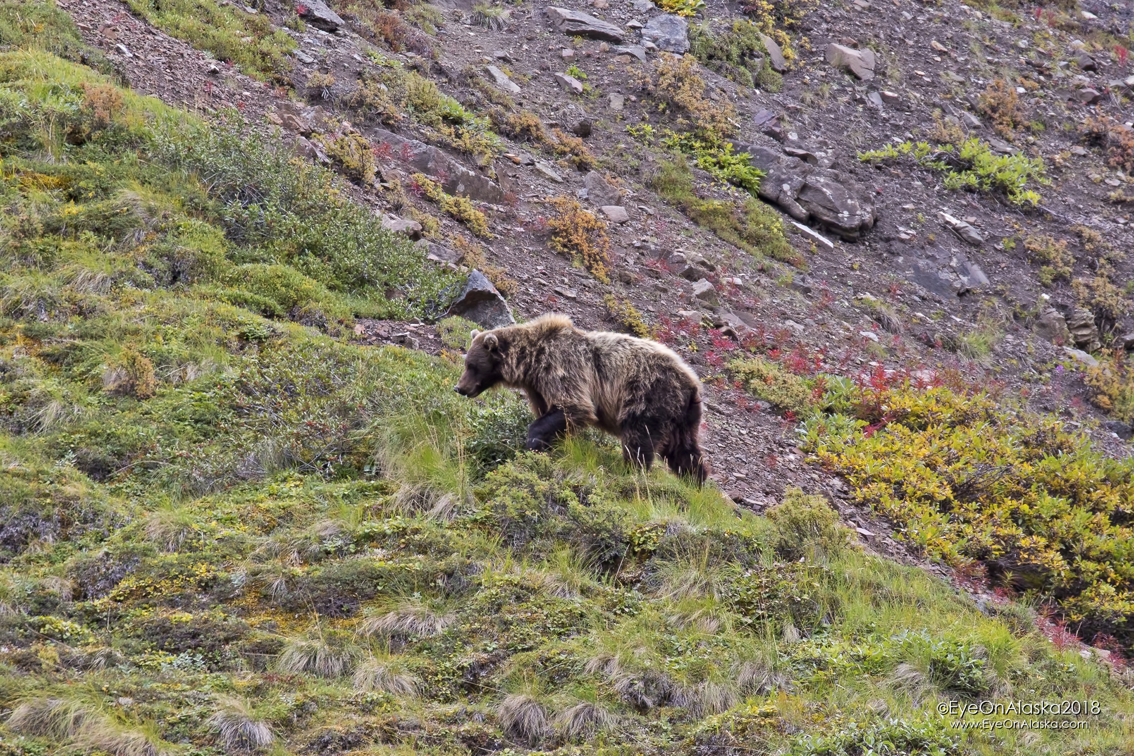 This guy was waiting to welcome us back to Denali just below the summit of Sable Pass.  We got off the shuttle bus and on to our mountain bikes about a mile beyond him.