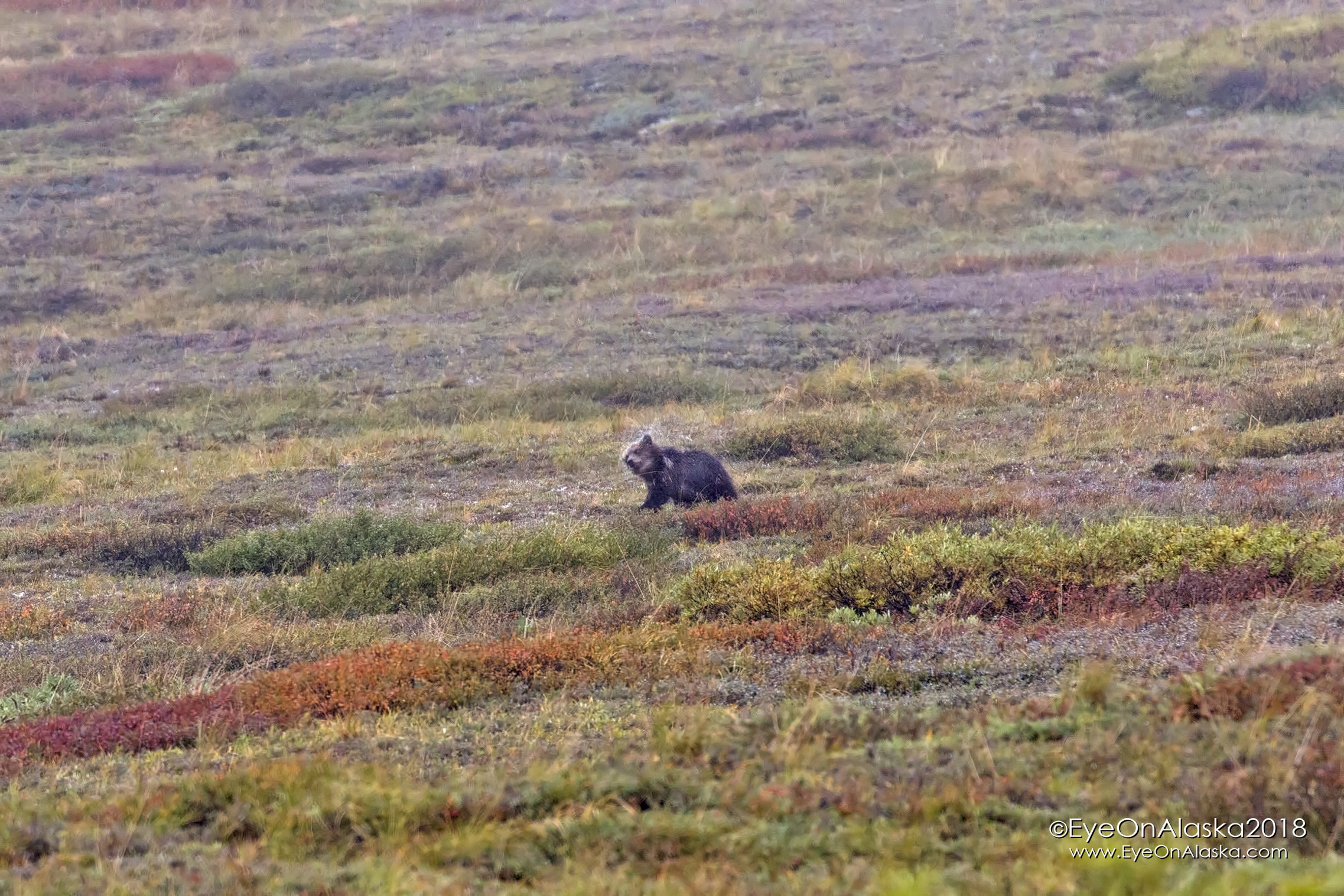 We spotted a sow with 2 spring cubs up near the top of Highway Pass as we were getting the bikes off the shuttle bus so we could head downhill.  This soggy cub was shaking the rain off.