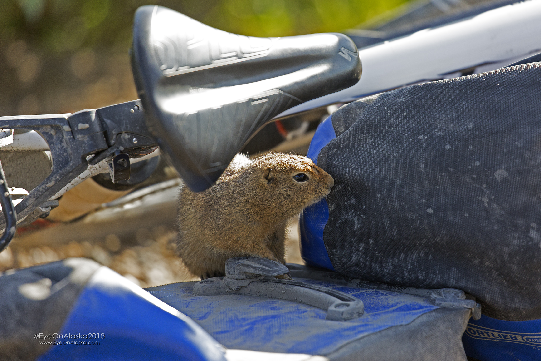 As we waited at the top of Sable Pass for our friends this curious Arctic Ground Squirrel decided to check out the bikes.