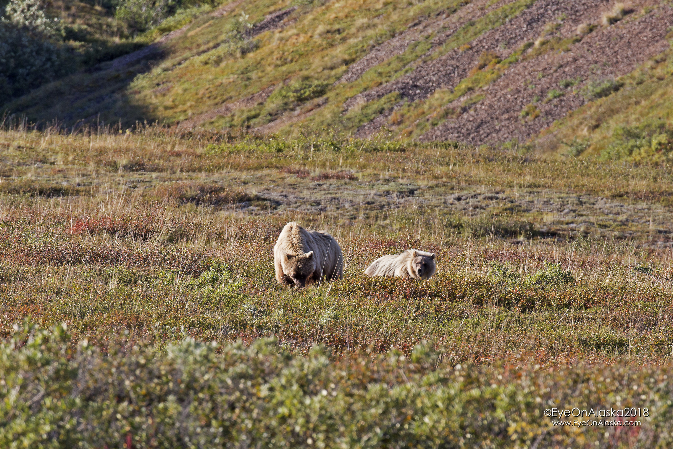 We got off the bikes and walked them downhill. Just a bit further, we found Momma bear and another cub. They saw us but paid no attention and just kept eating berries. Once we were around a corner out of their view we jumped back on the bikes and headed down the canyon and back to the Teklanika campground.  What a day!
