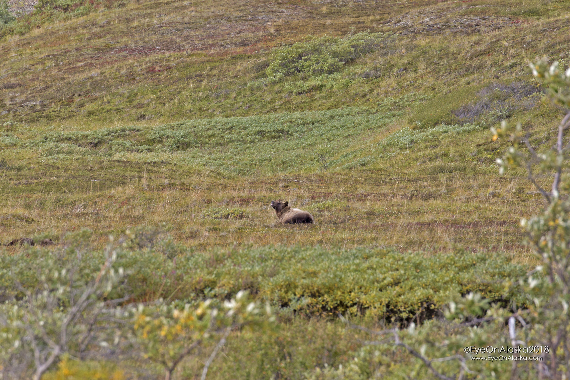 Here we go again.  As we're biking down from the top of Highway Pass to go visit the wolves, this guy pops up out of the berry patch above the road.  I think he caught our scent, but no worries.