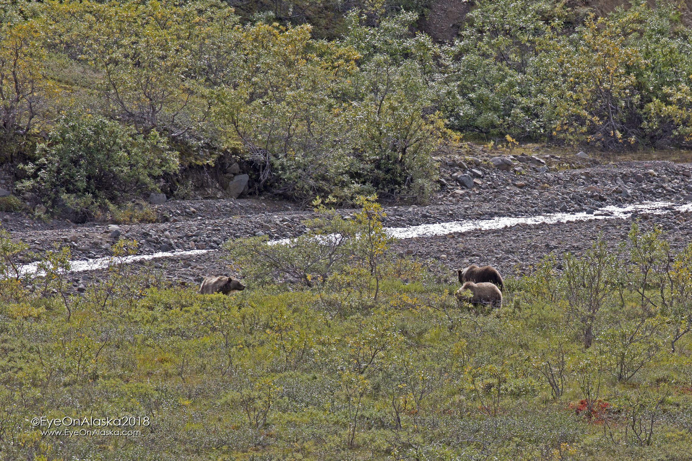 Sow with 2 cubs in Highway Pass.  They look like possibly spring cubs, but they're big.  The one cub has the distinctive blond collar around the shoulders.