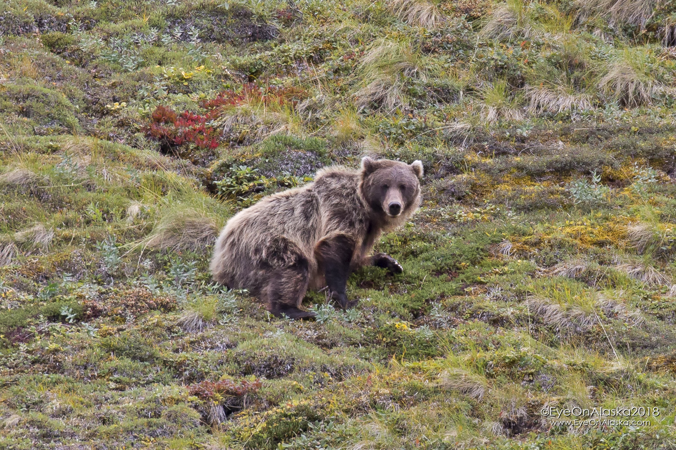Nothing like a good-sized grizzly bear staring straight at you to get your attention :)