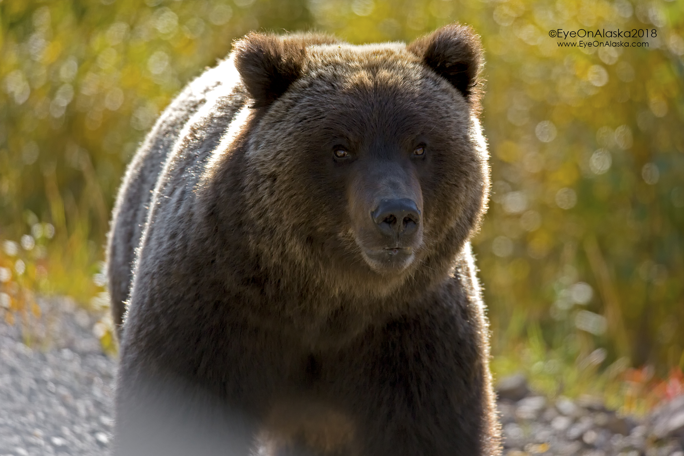 Eye contact with a grizzly bear.  These are special moments.  Glad there was a windshield between us ;)