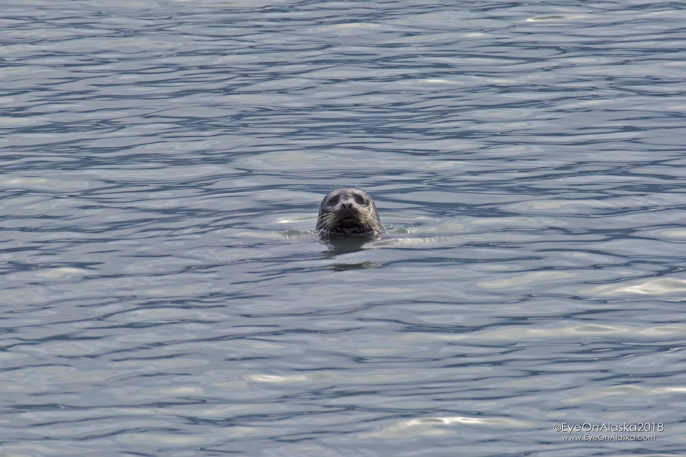 Curious Harbor Seal came by to check us out.