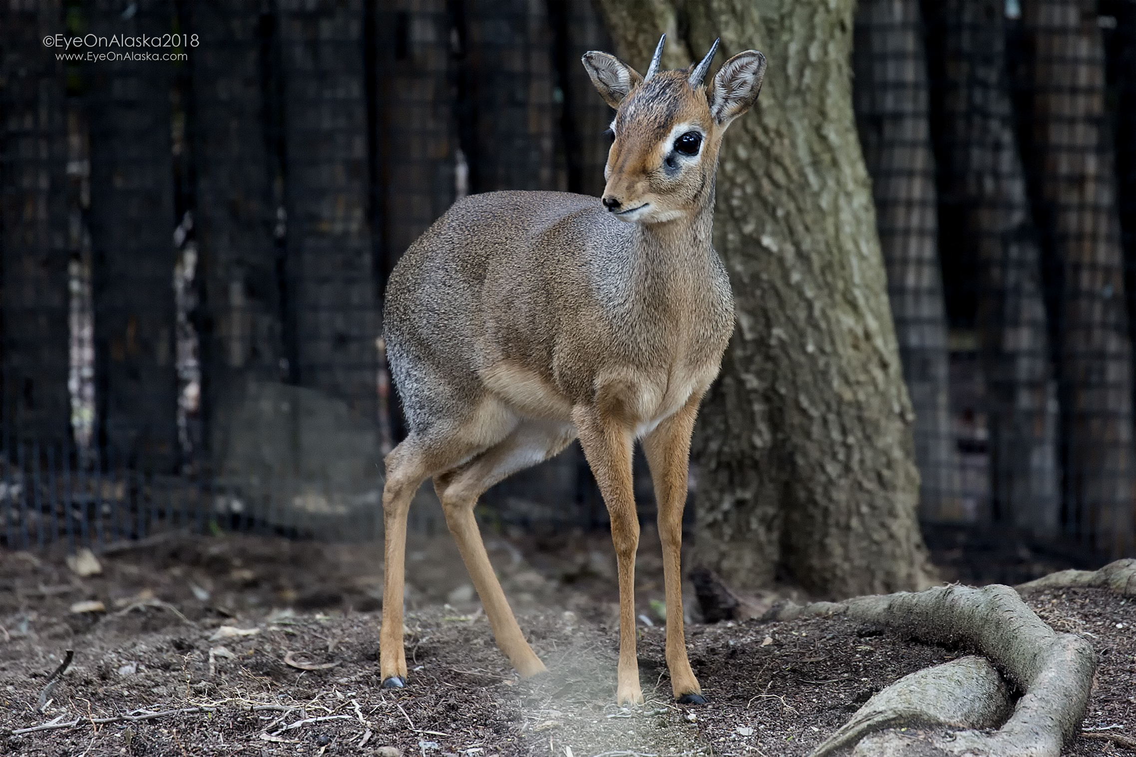 A Dik-dik.  These cute little critters were everywhere in Kenya.