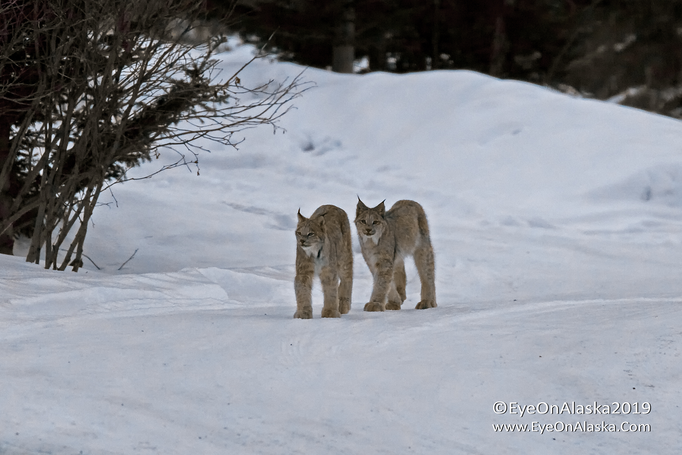 Two young Canada Lynx walking down the neighbors driveway.