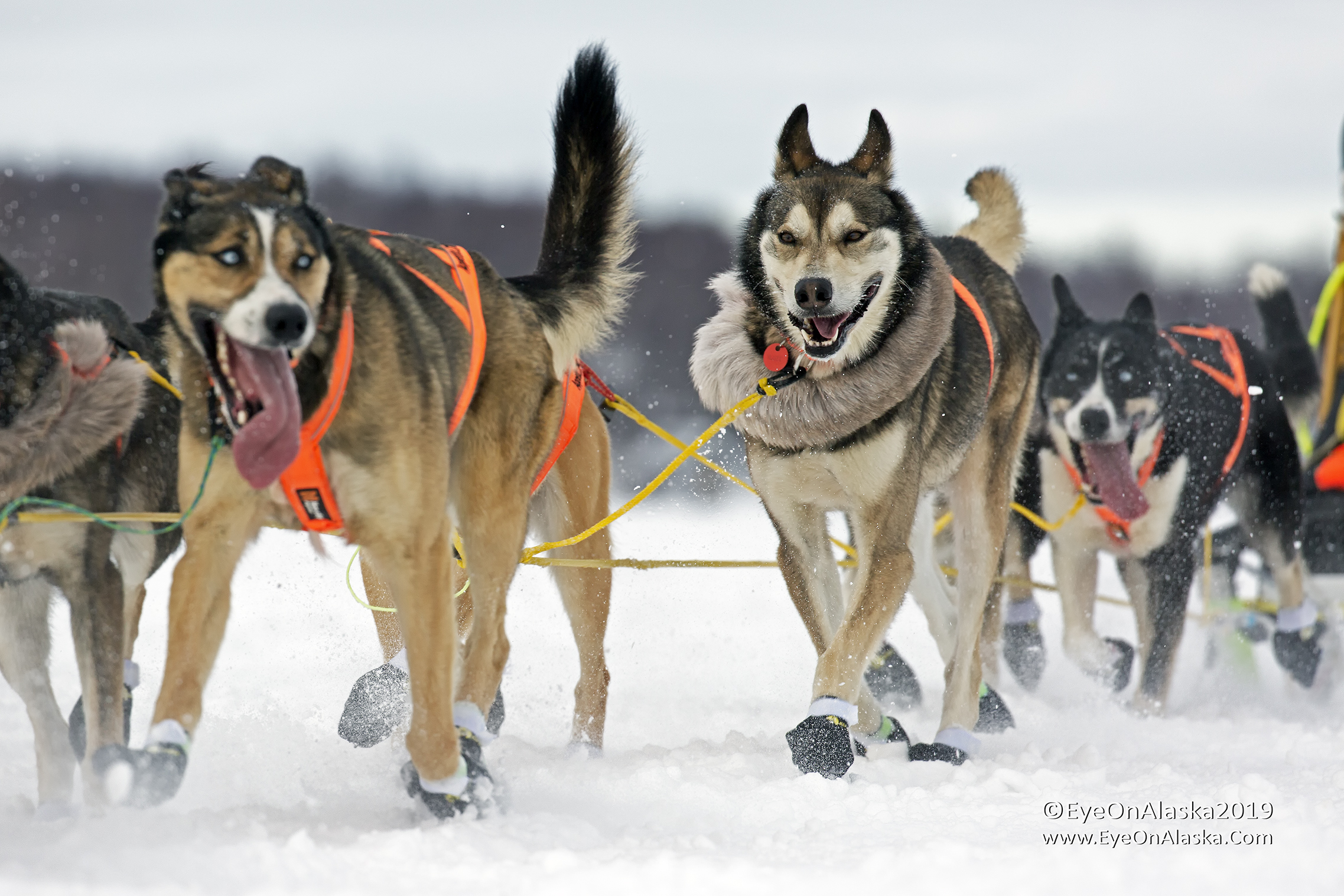 It's Iditarod time!  Mush!