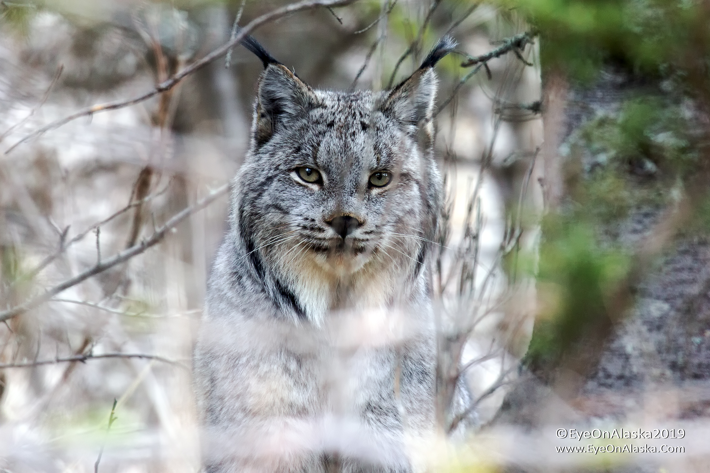 The Lynx let me move down to the driveway and circle it getting different angles. 15'-20' away at times. You can really see the ear-tufts from here.  It was wonderful.