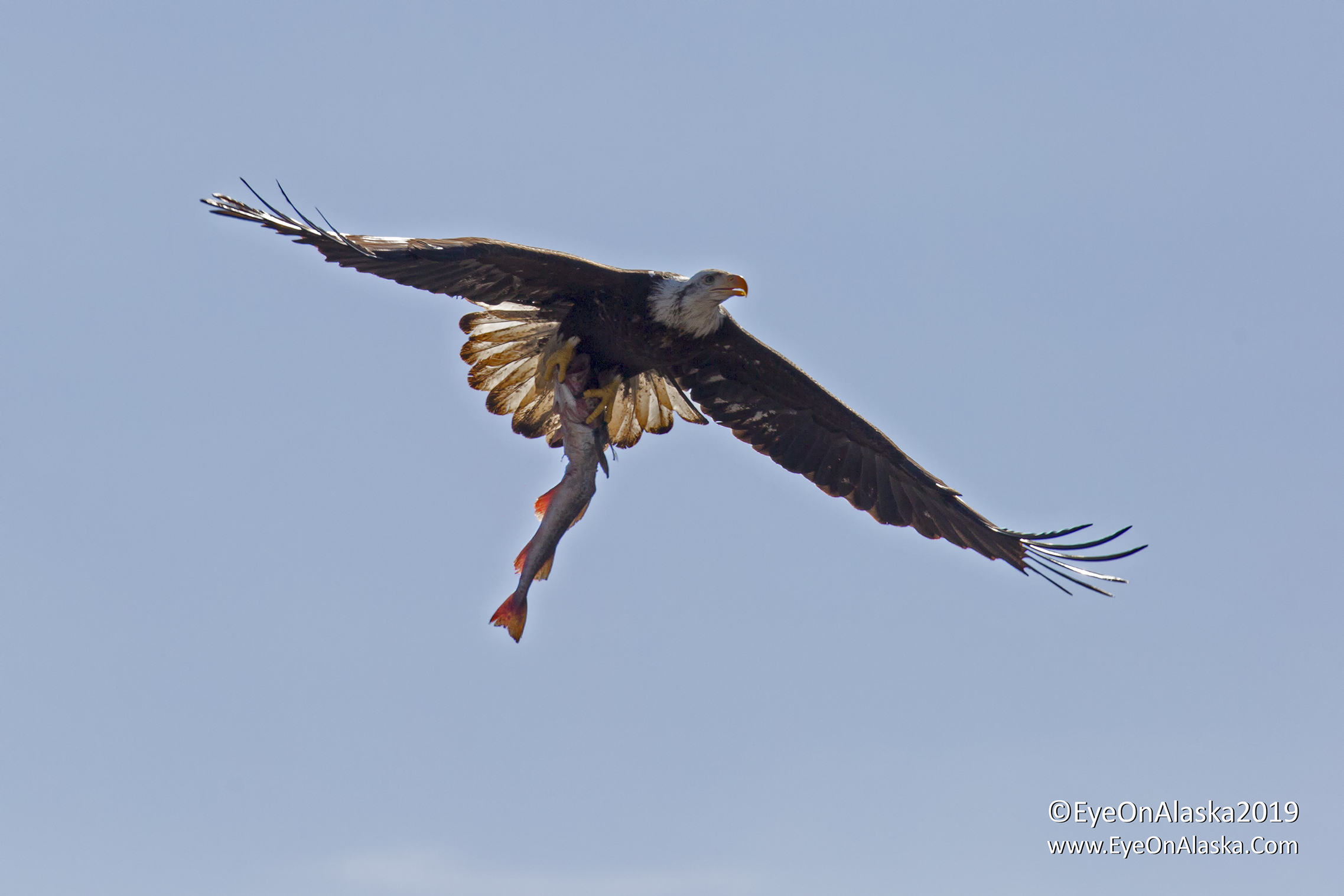 Bald Eagle that found some dinner.