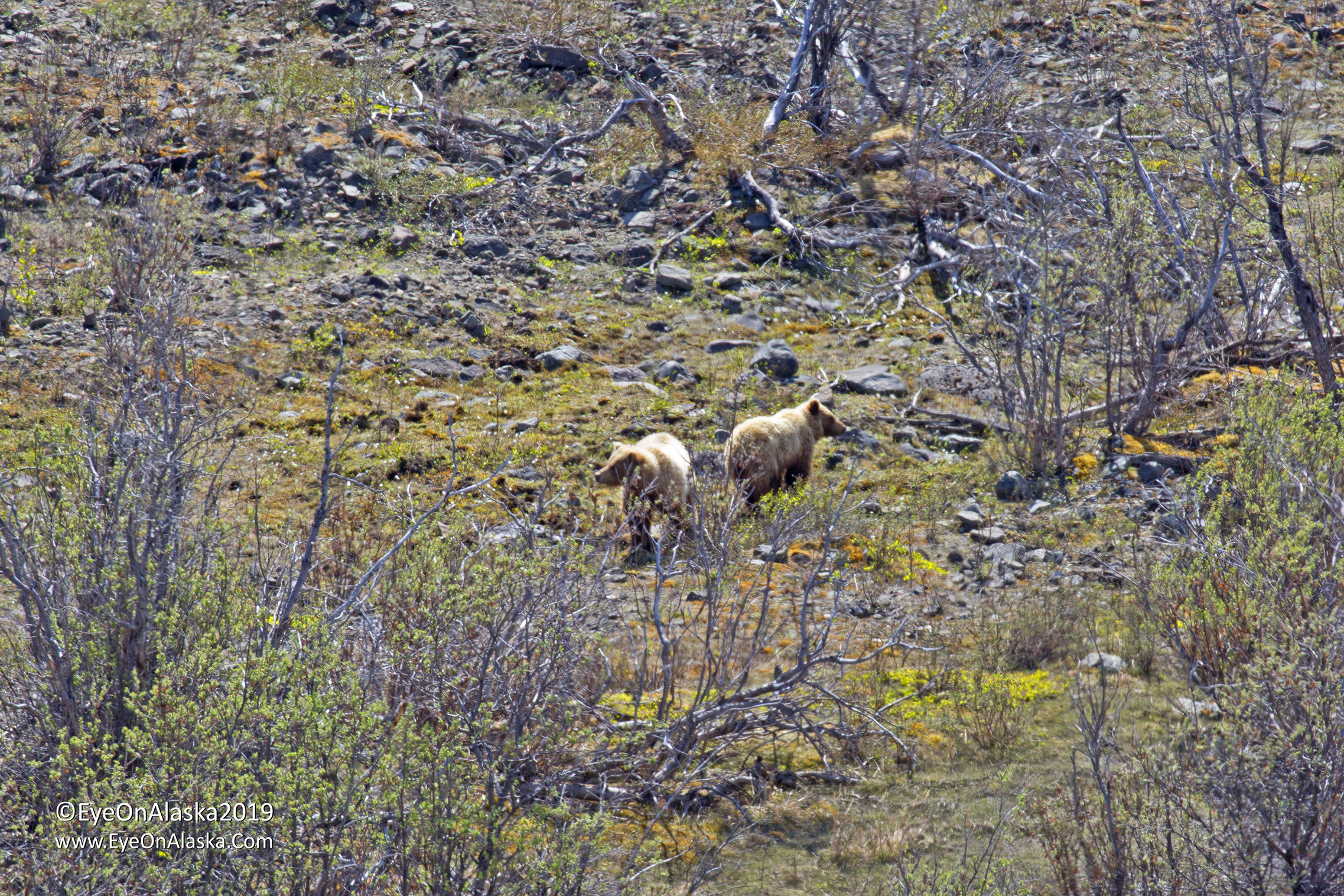 First bears of the year in Sable Pass.  Sow and cub.