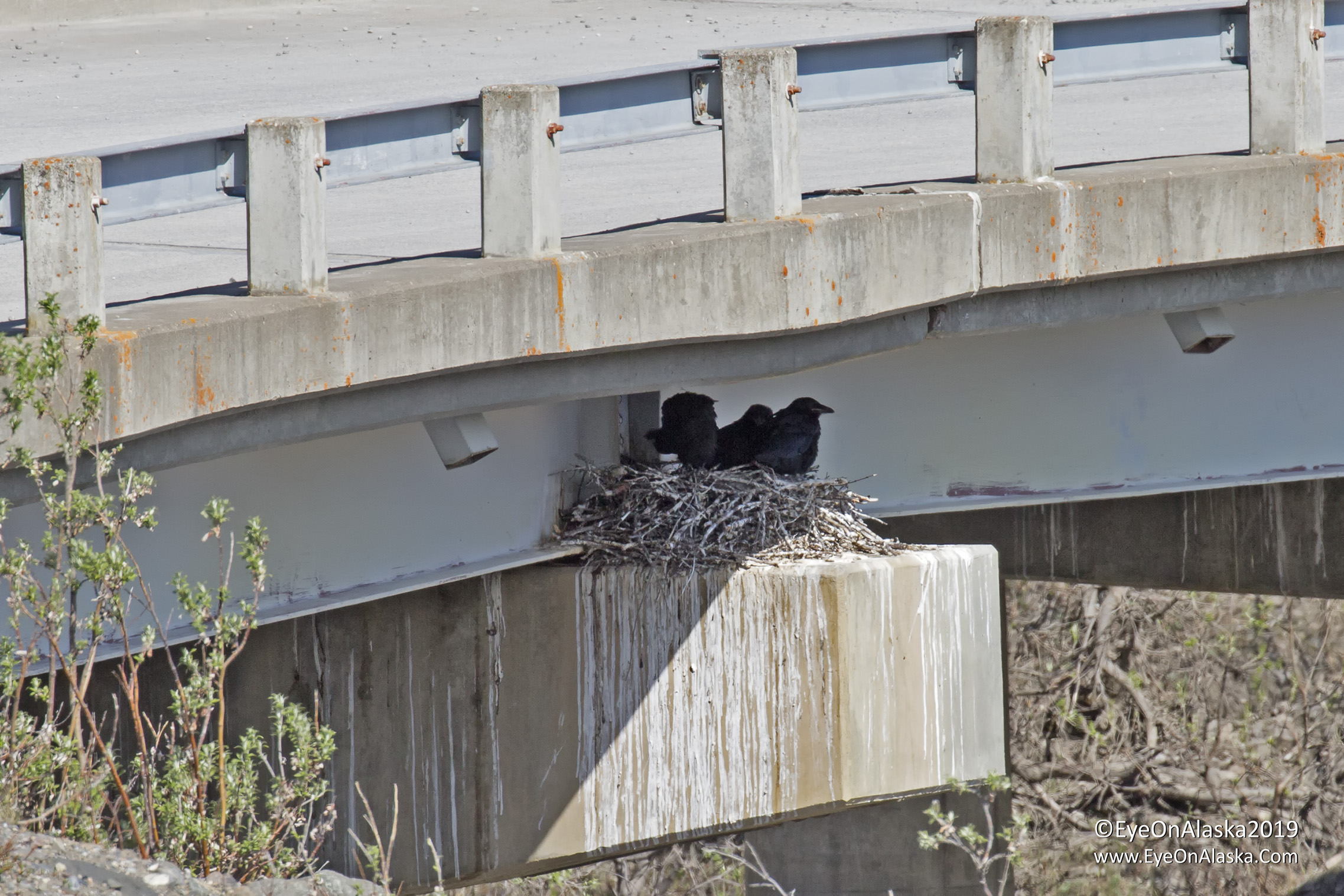 Baby ravens in the nest again under the Sable Pass bridge. This is the 3rd year we've seen them on the nest here.