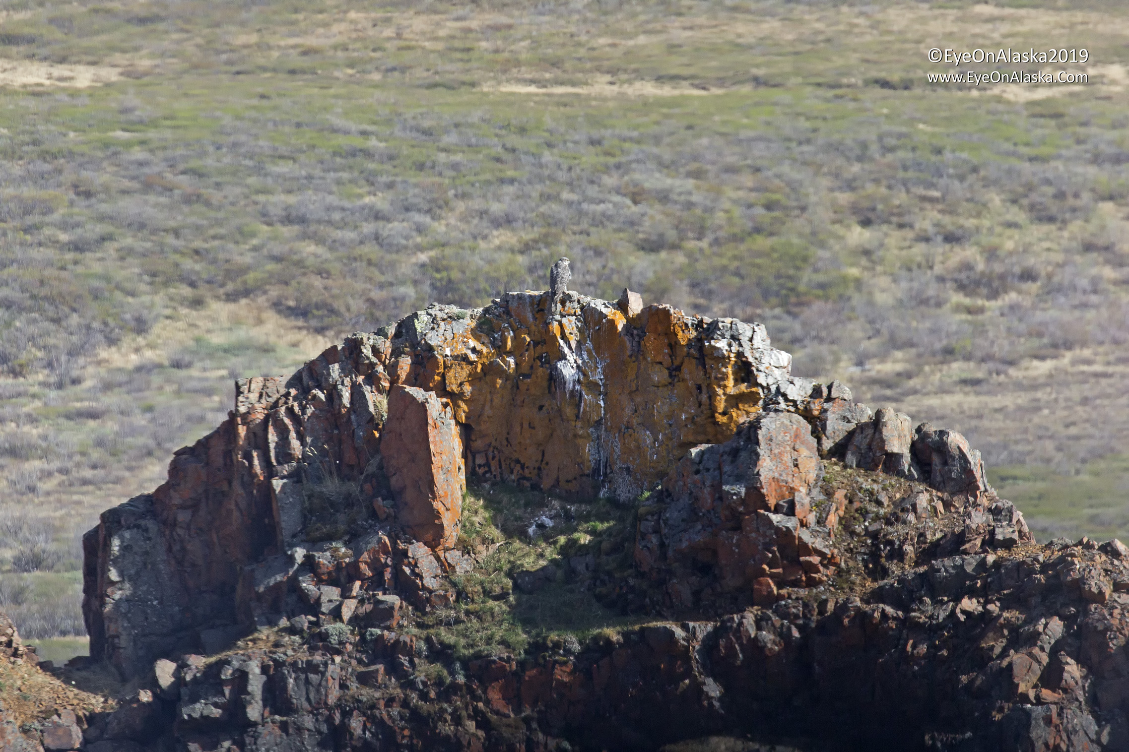 Gyrfalcon nesting in the same spot as last year in the rocks below Polychrome overlook.