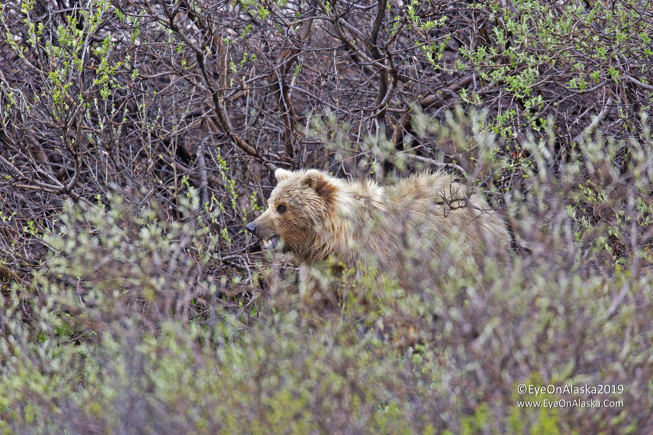 As we got even with him, the bear moved back into the bushes a bit, but we still got a great view of him.
