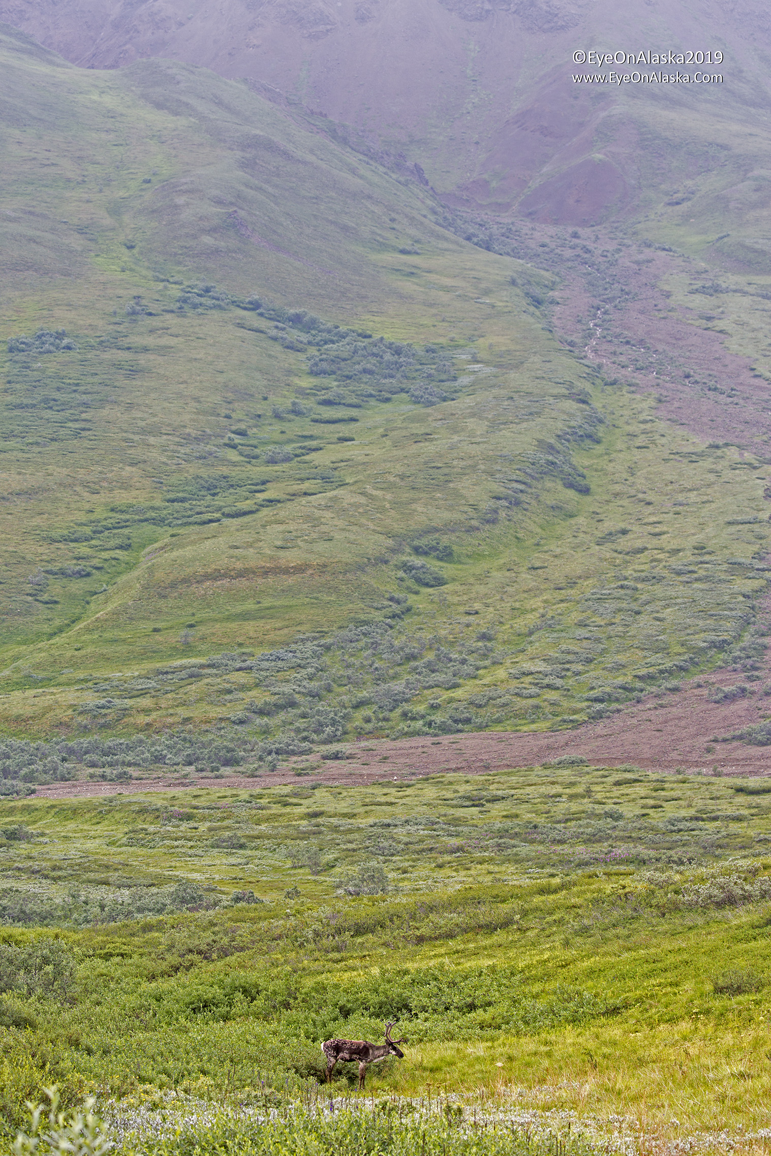 The colors on the landscape were incredible this trip.  A lone caribou.