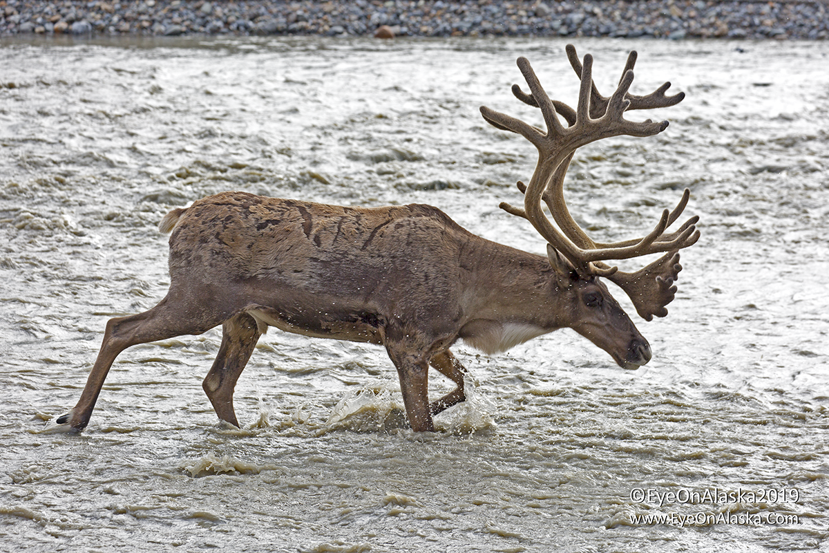 Good sized bull caribou crossing the east fork of the Toklat river.