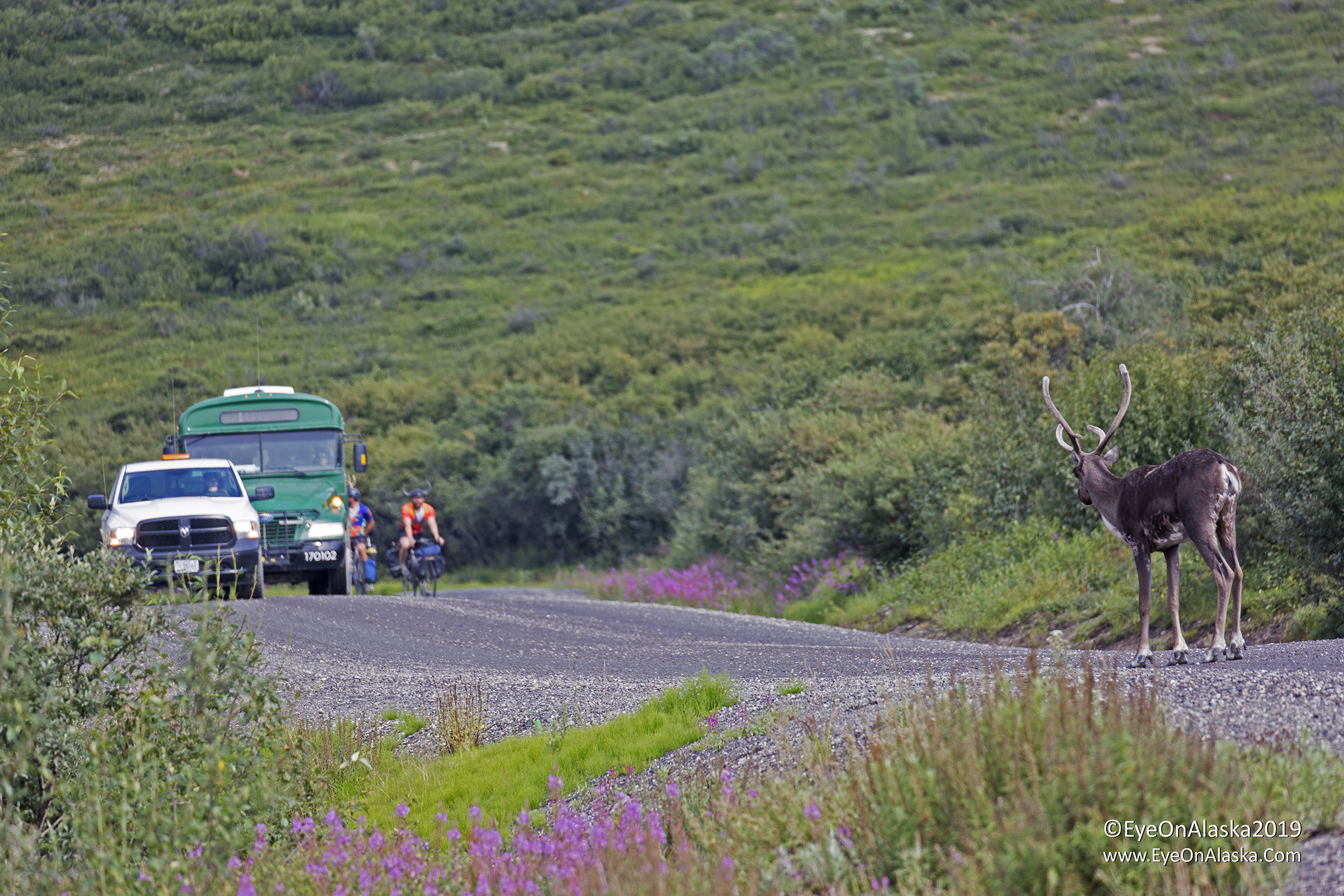 Driving into the Teklanika campground on the Park Road on Thursday afternoon to begin our trip we came around a corner to find this stand-off. Crazy bikers wearing horns on their helmets which I'm not sure is a great idea in bear country. That's why the drivers call us meals-on-wheels ;)